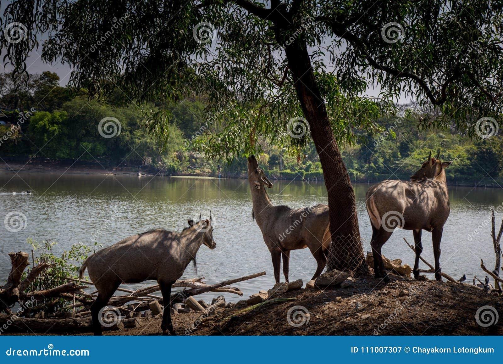 3 het hert at Bladeren in Safari