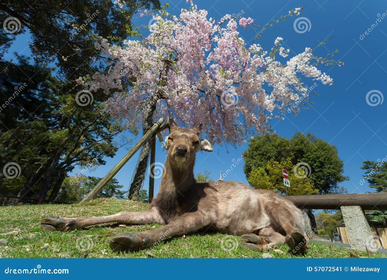 Het hert dut onder de boom van de bloesemkers