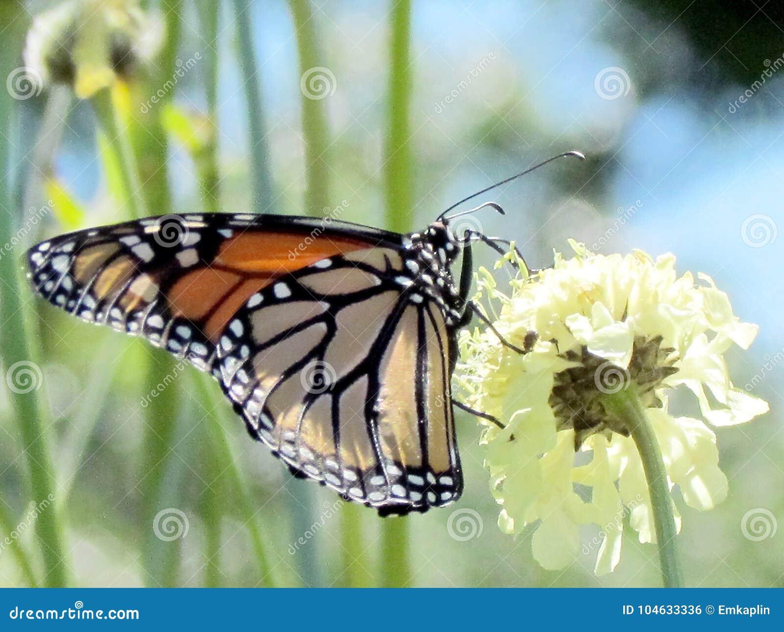 Download Het Hoge Park Van Toronto De Monarch Op Witte Ijzerkruidbloem 2013 Stock Foto - Afbeelding bestaande uit bloei, insecten: 104633336