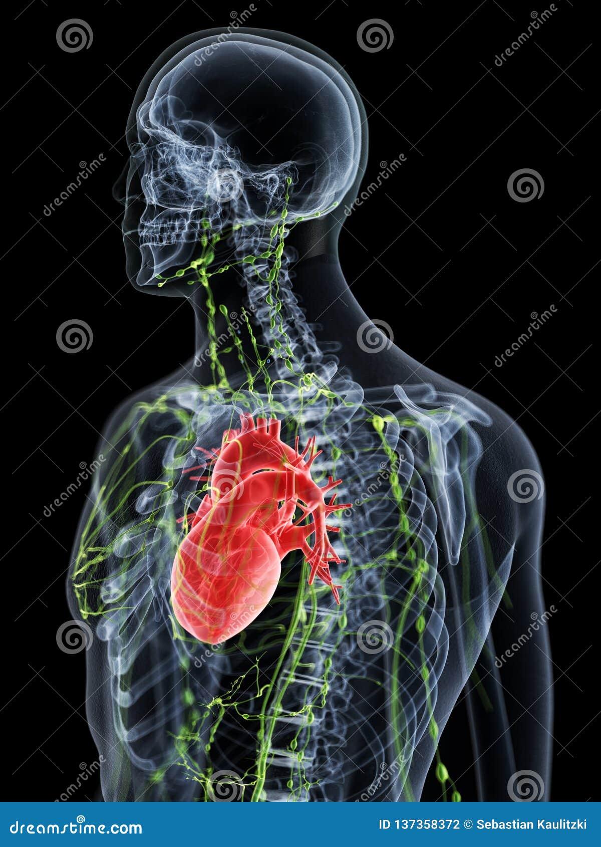 Het hogere lymfatische systeem