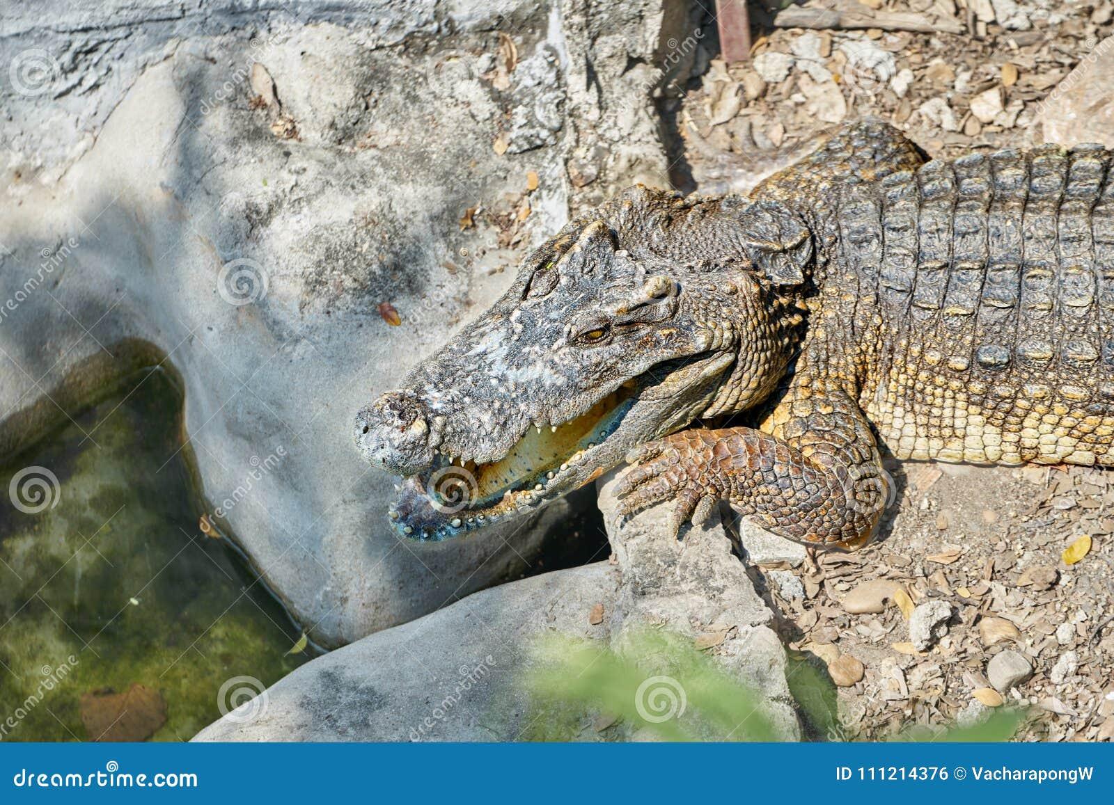 Het hoofd en halve lichaam van alligator of krokodil ligt op zandfl