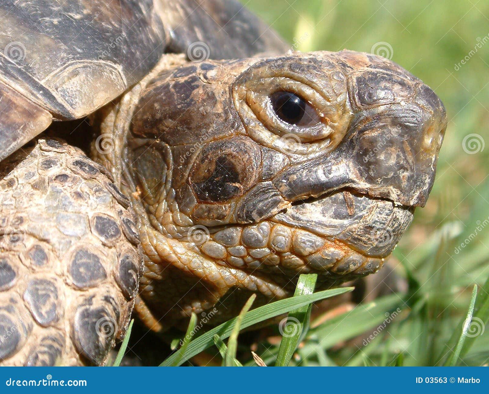 Het hoofd van de schildpad