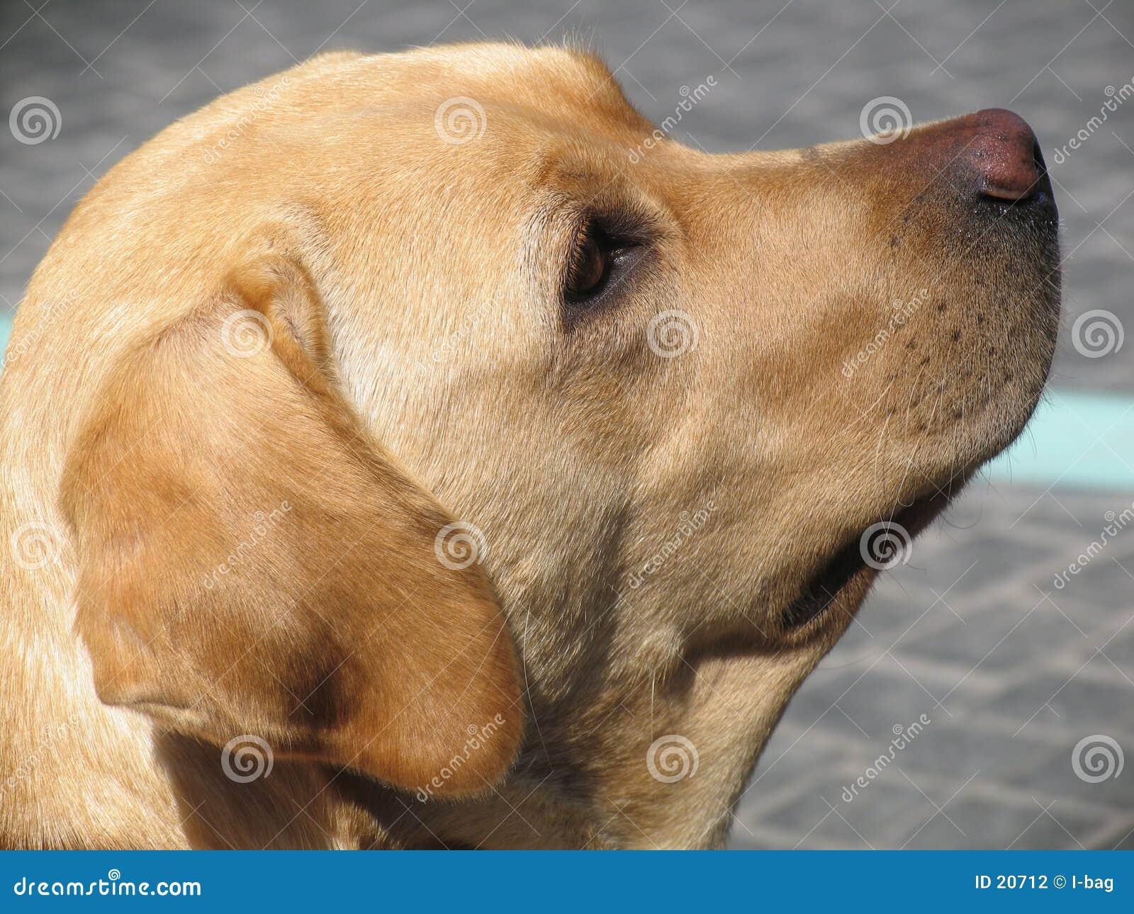 Het hoofd van honden