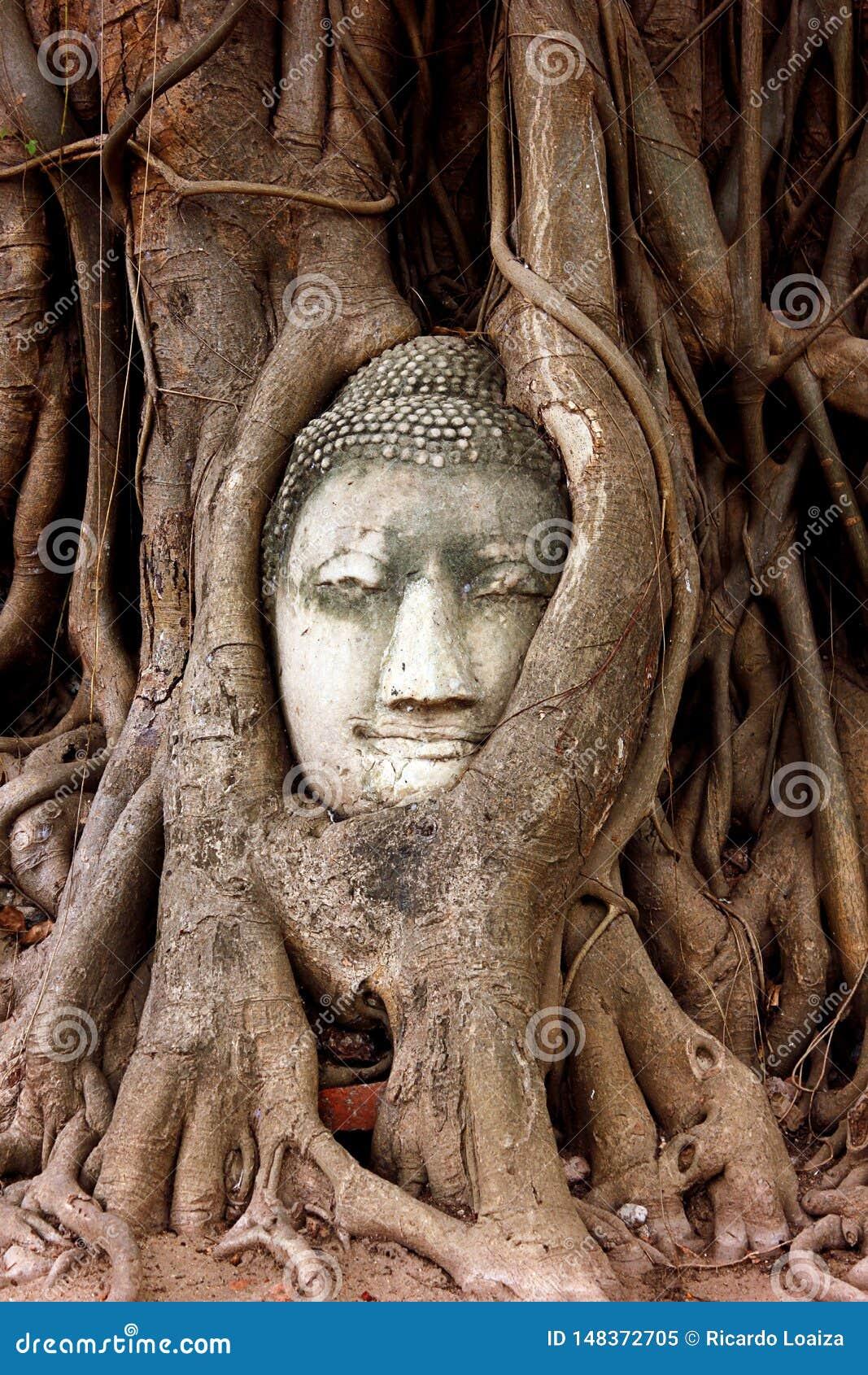 Het hoofdbeeldhouwwerk van Boedha dat in de wortels van een grote boom in Wat Mahathat wordt opgesloten Ayutthaya Historisch Park