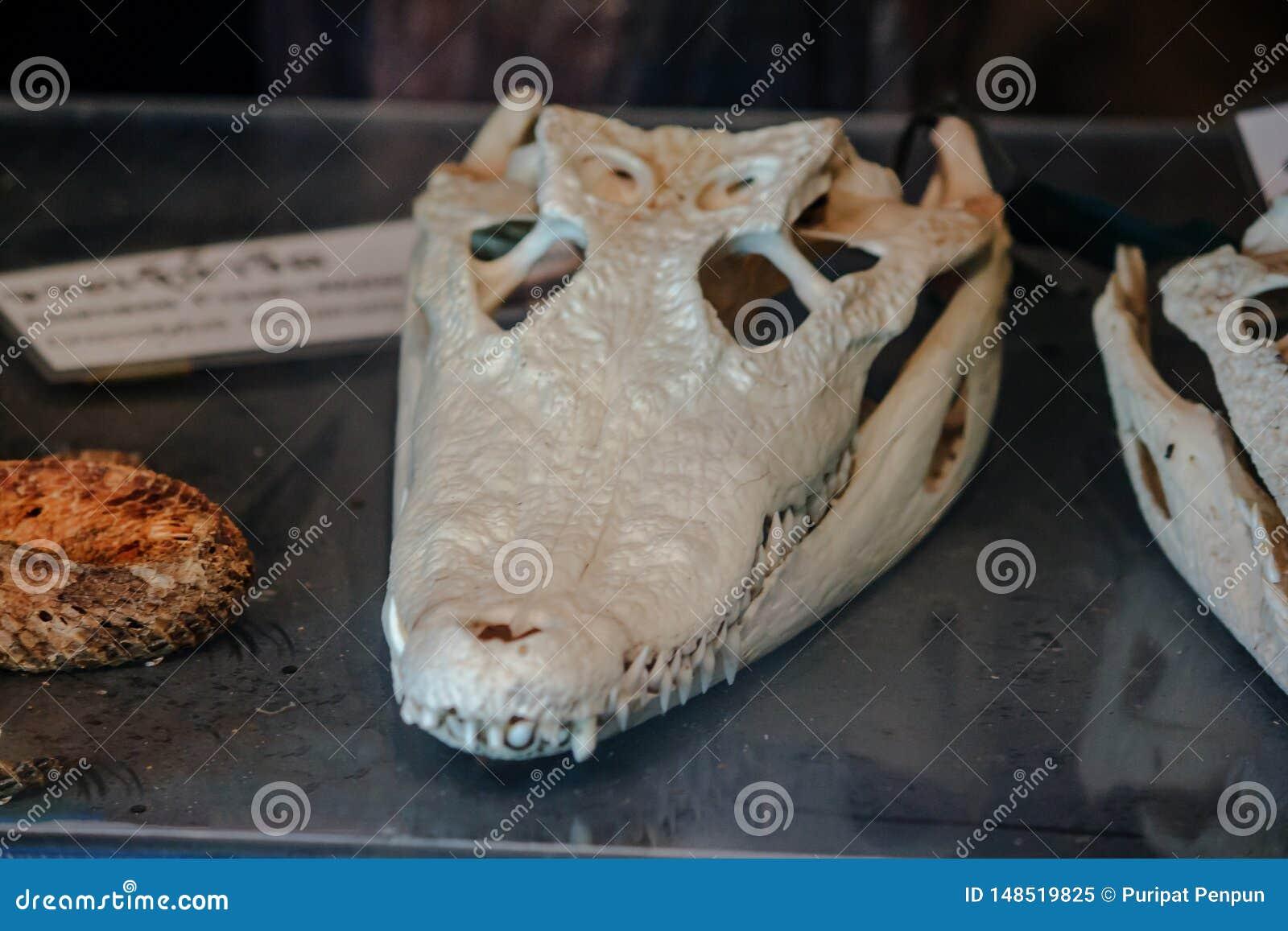 Het hoofdbeen van de zoutwaterkrokodil
