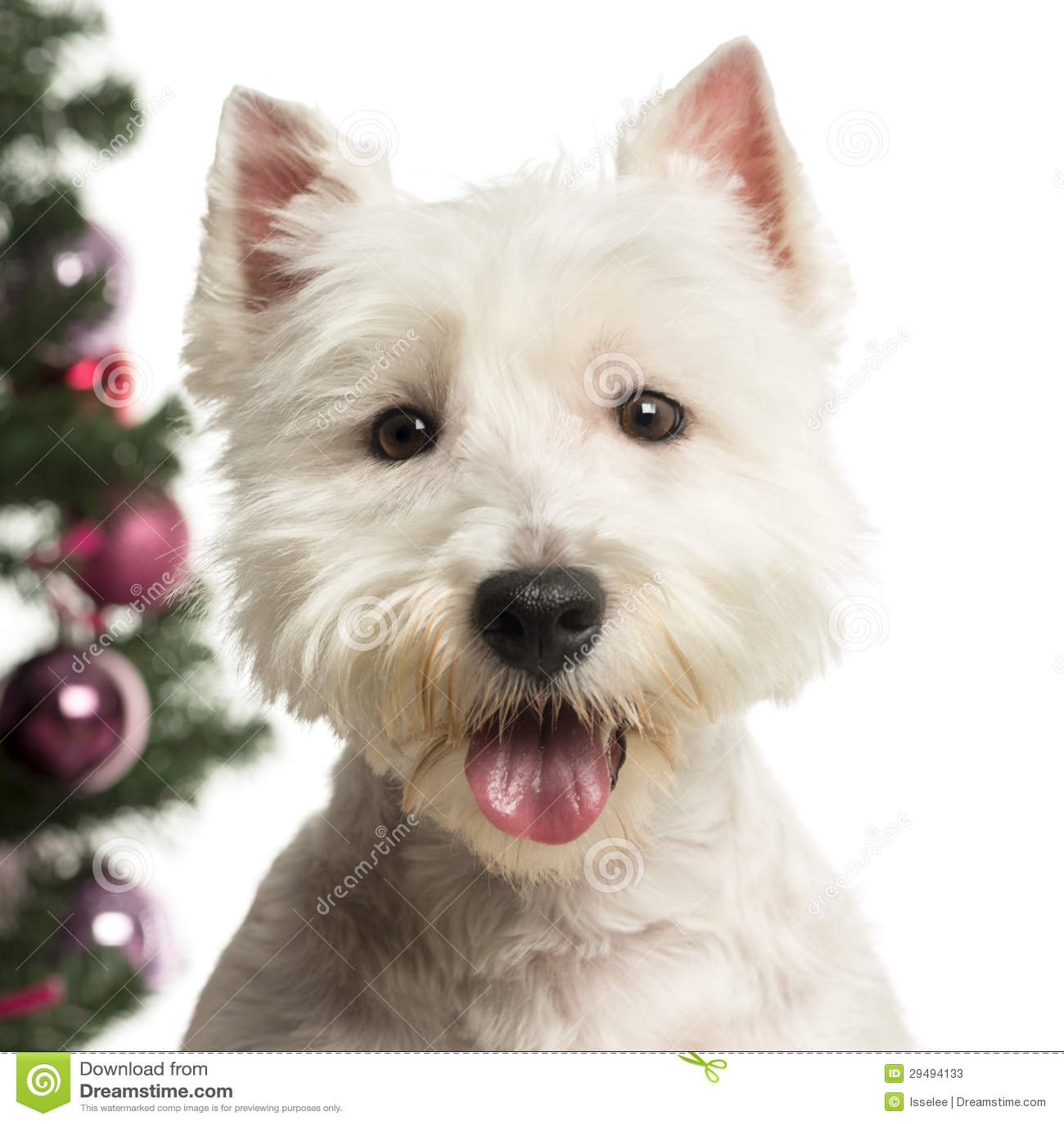 Het Hoogland Wit Terrier van het westen voor de decoratie van Kerstmis