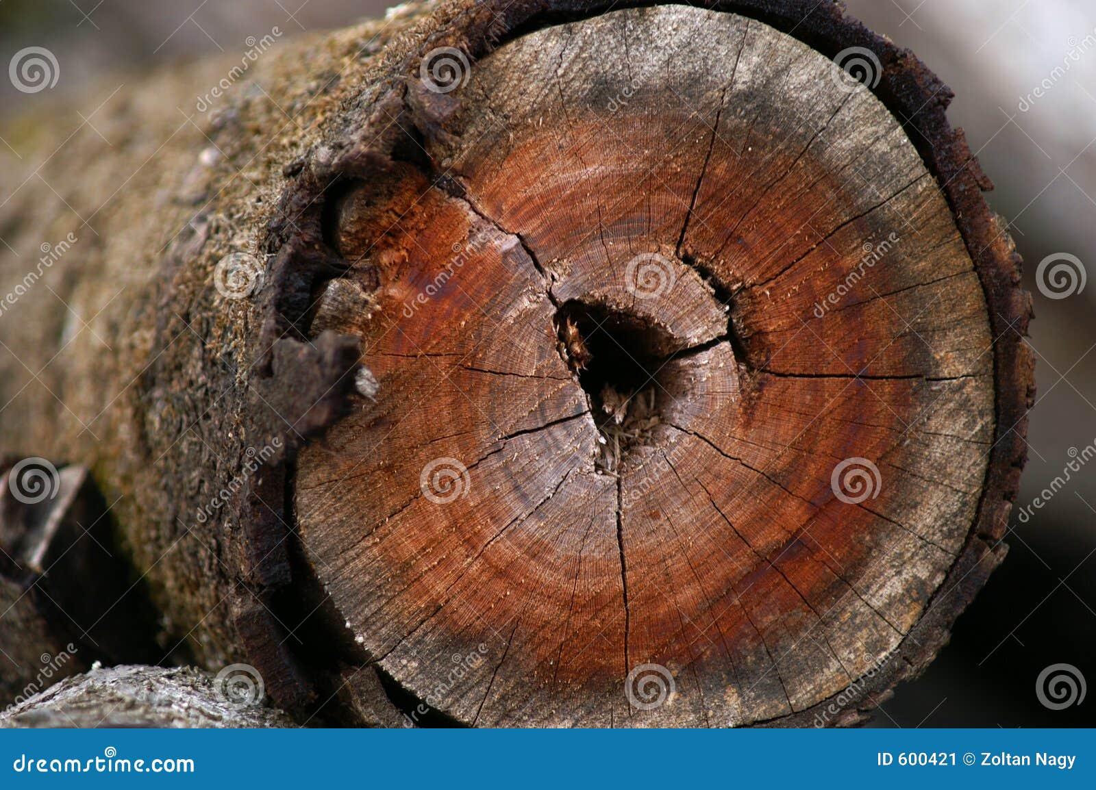 Het hout van de beuk