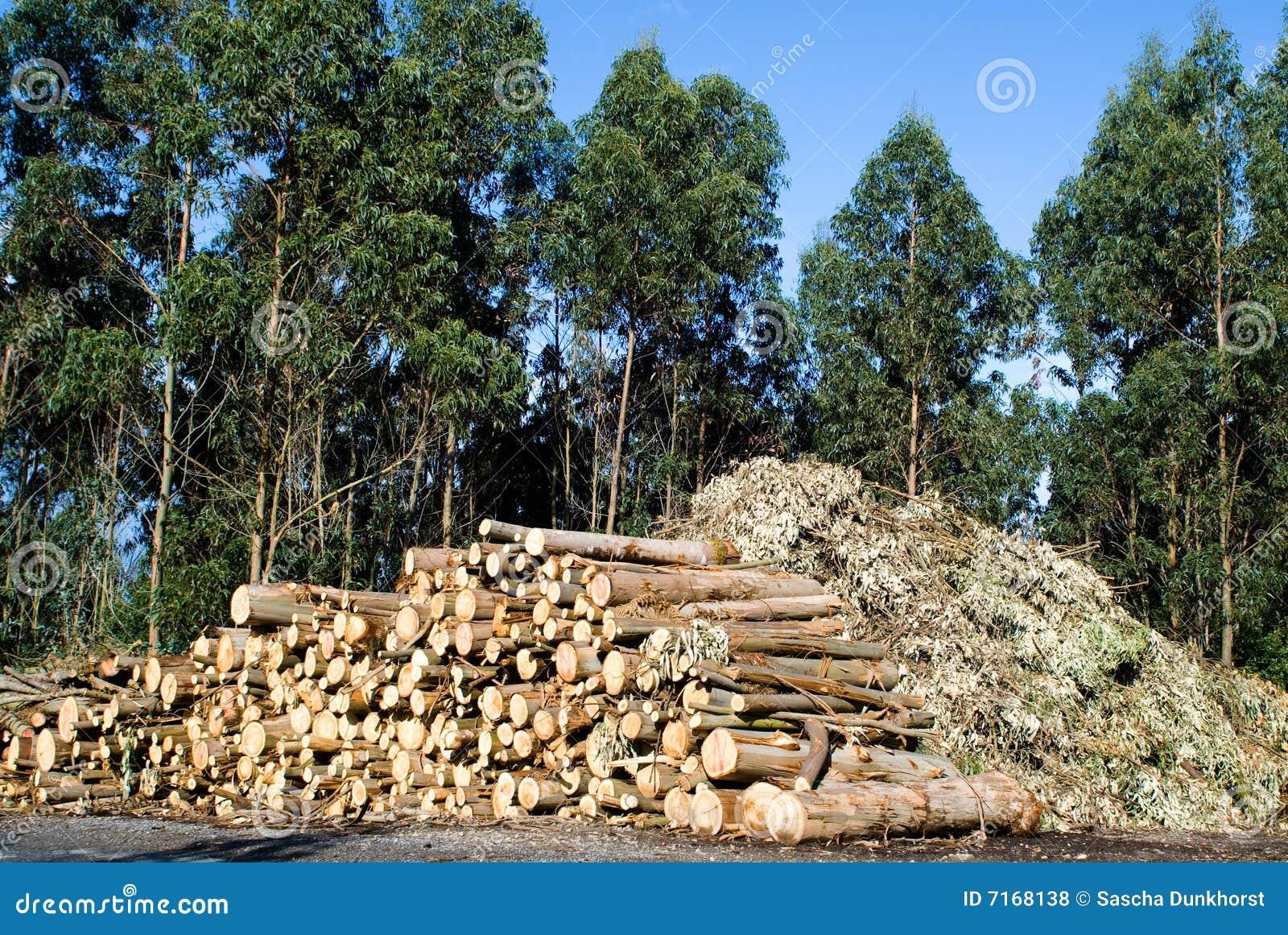 Het hout van de eucalyptus