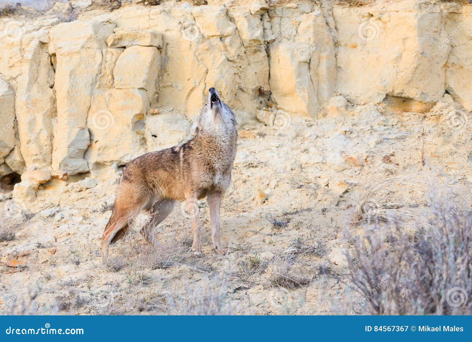 Het huilen van de coyote