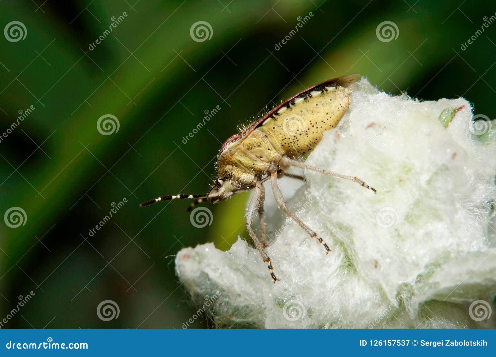Het insect van de sleedoorn, dolycorisbaccarum