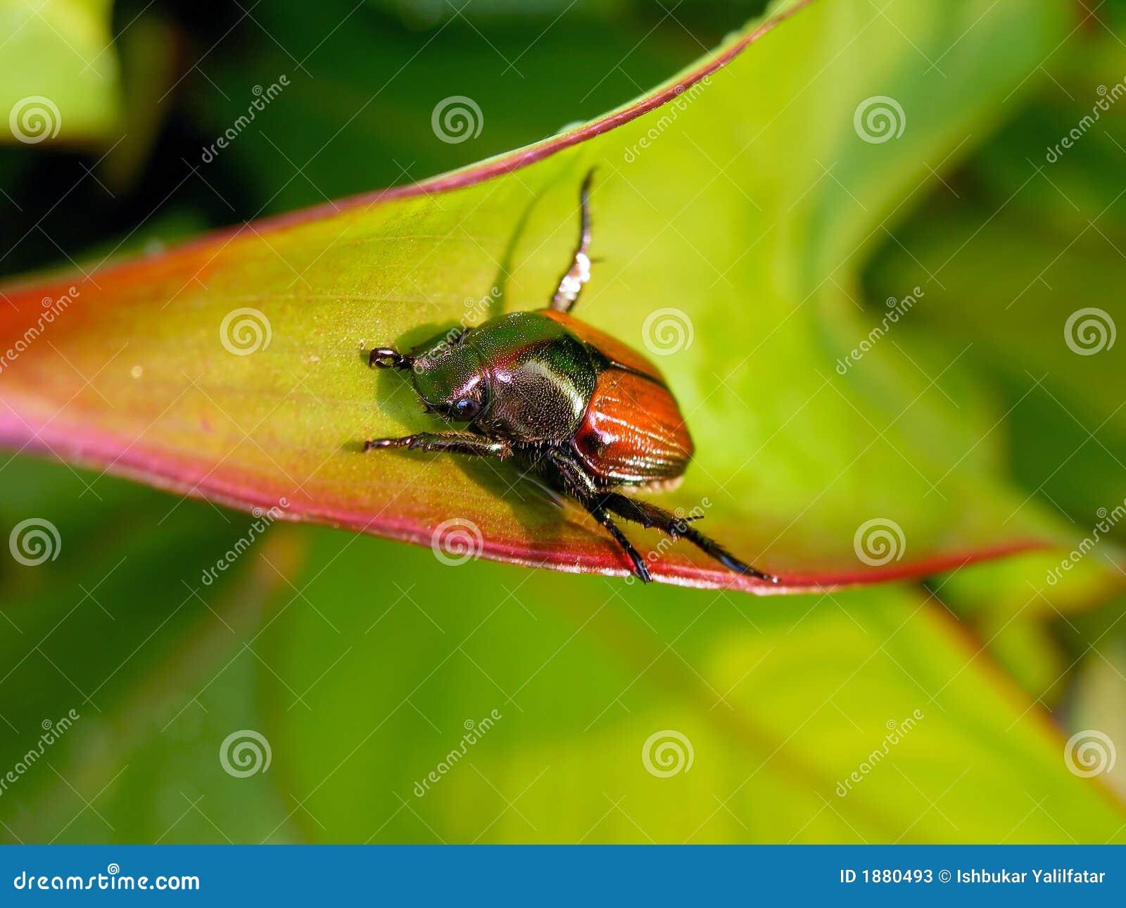 Het Insect van juni