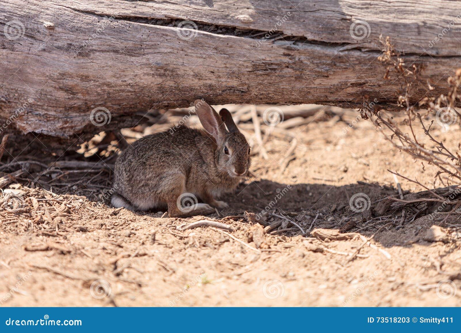 Het jeugdkonijn, Sylvilagus-bachmani, wild borstelkonijn rust onder login Irvine