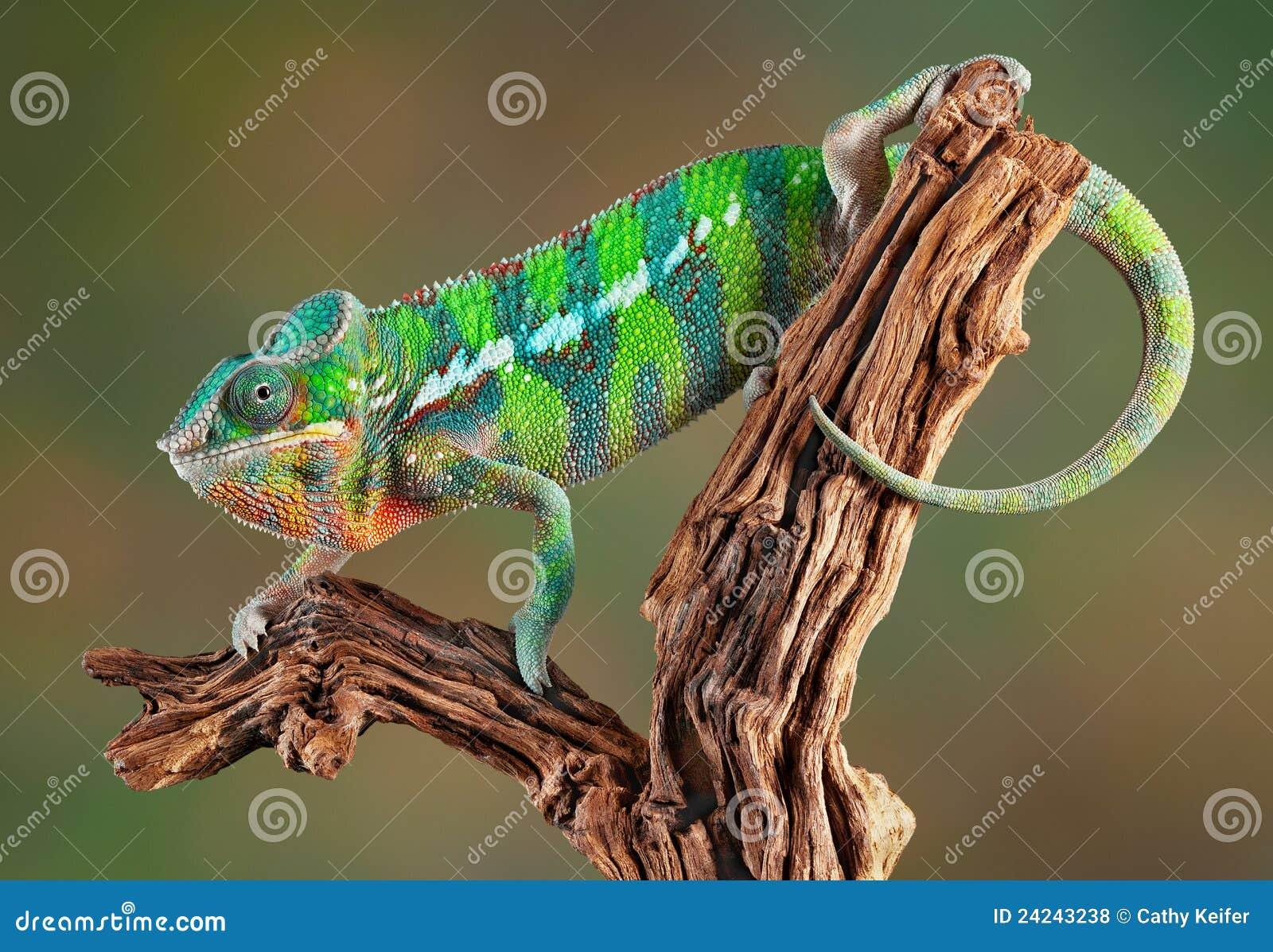 Het Kameleon van de panter