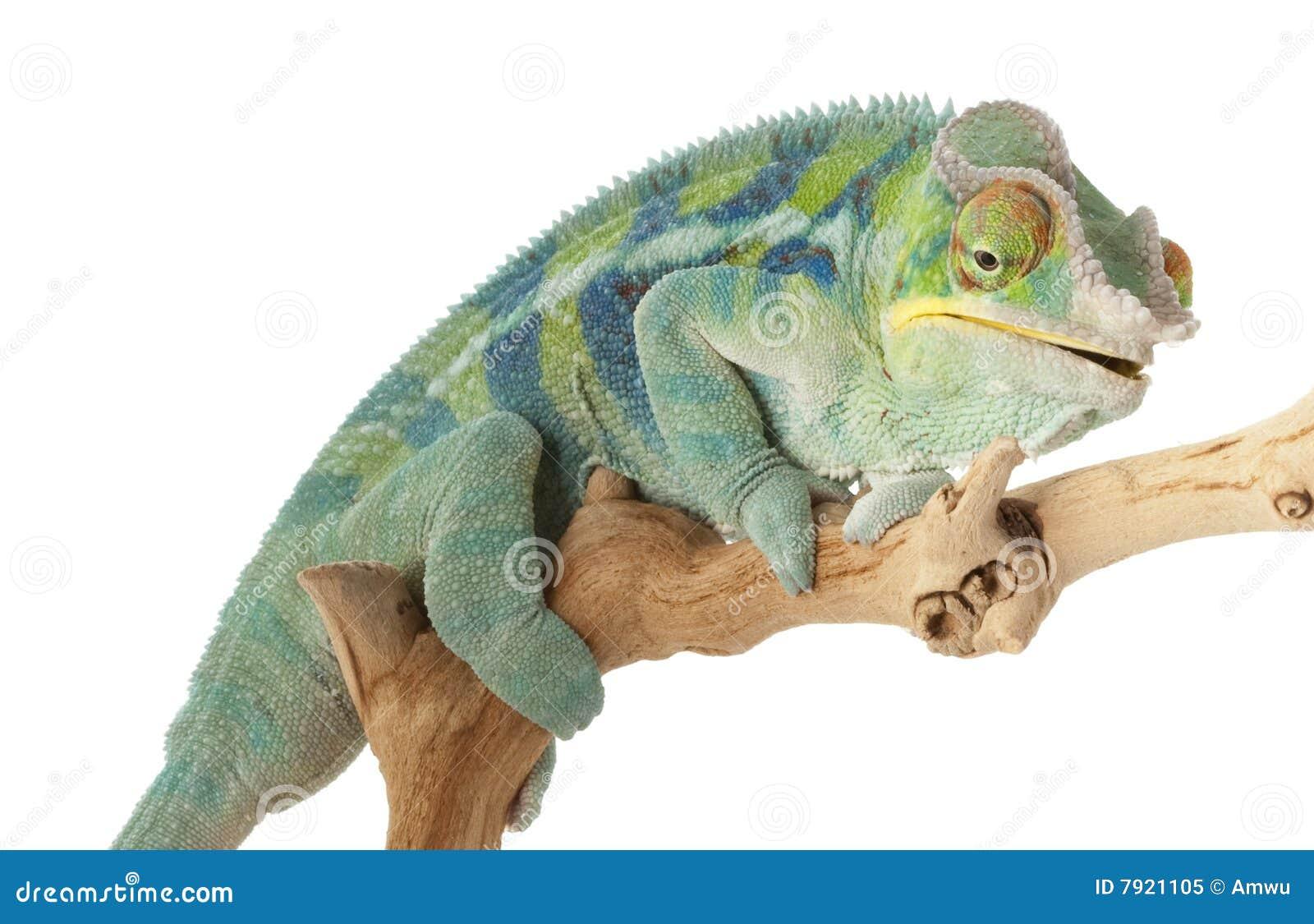 Het Kameleon van de Panter van Ambanja