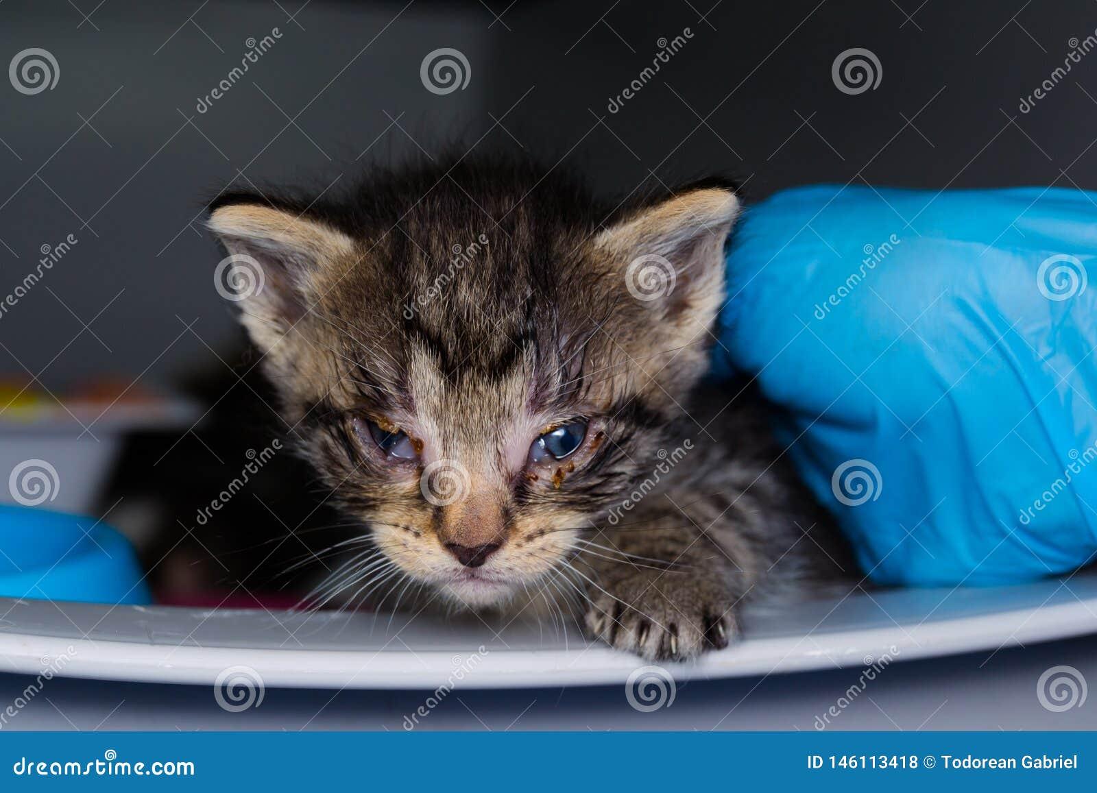 Het katje met bindvliesontsteking bij de veterinaire kliniek