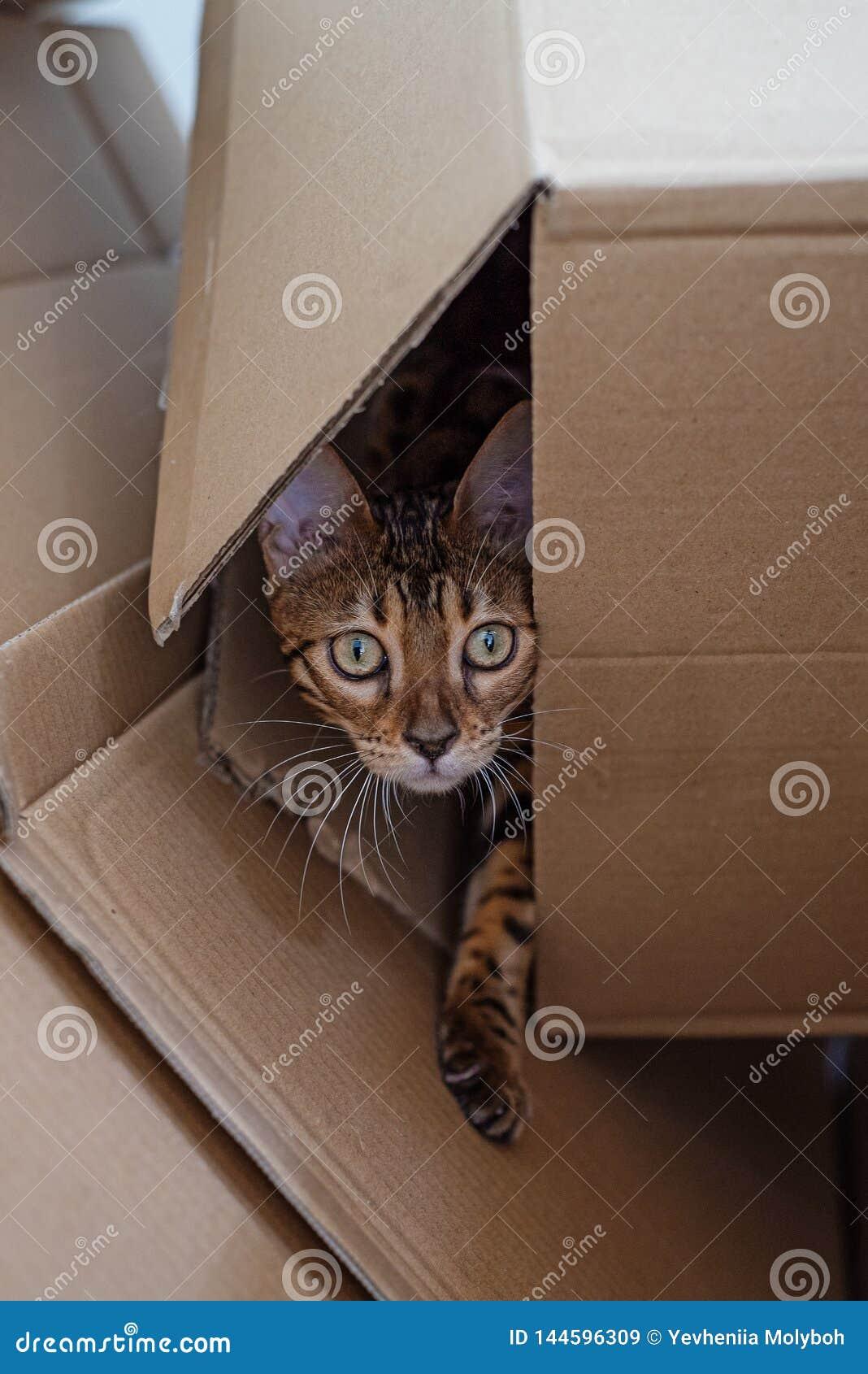 Het katje van Bengalen kijkt uit de kartondoos
