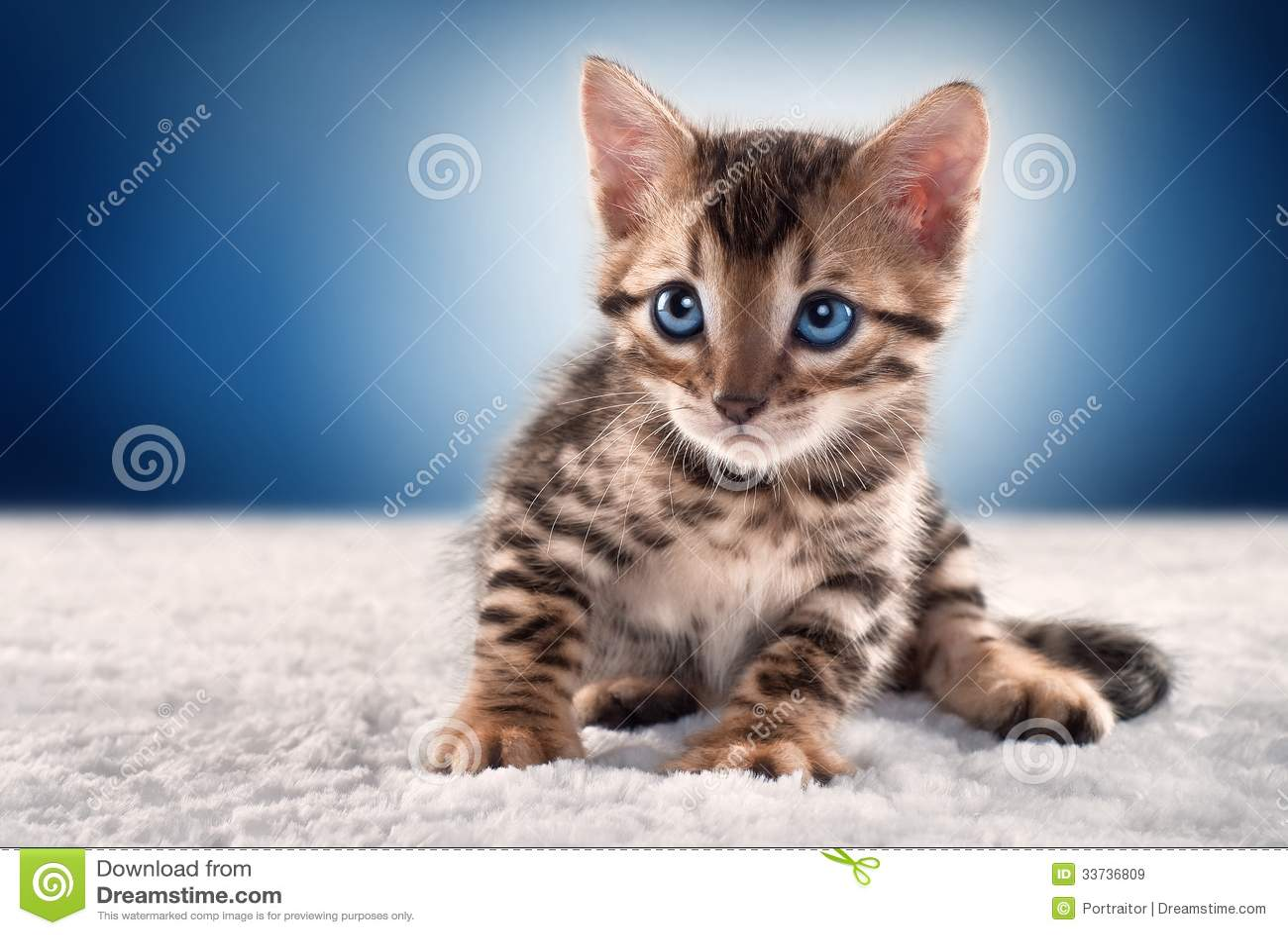 Het katje van Bengalen op blauwe achtergrond