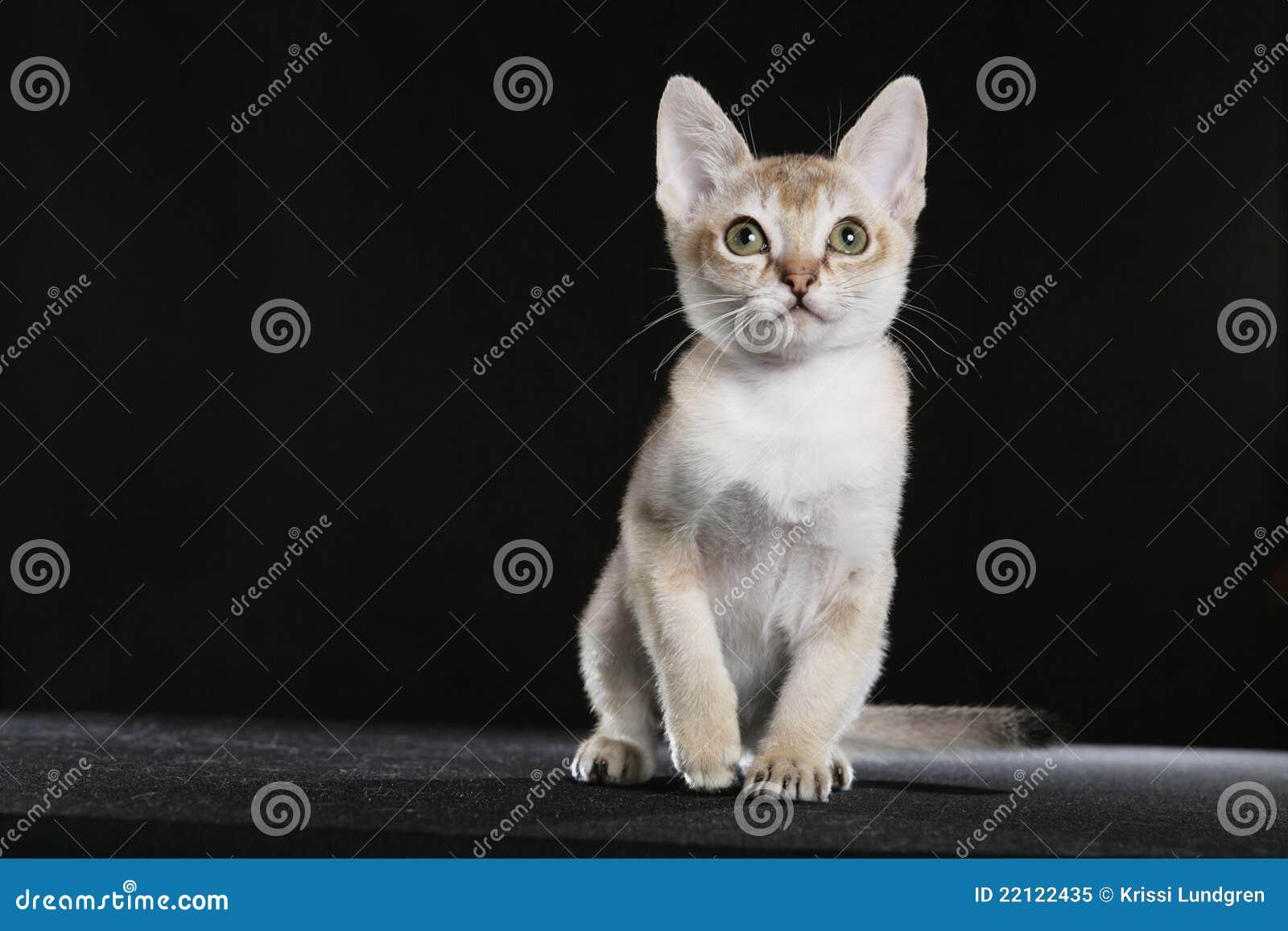Het katje van Singapura