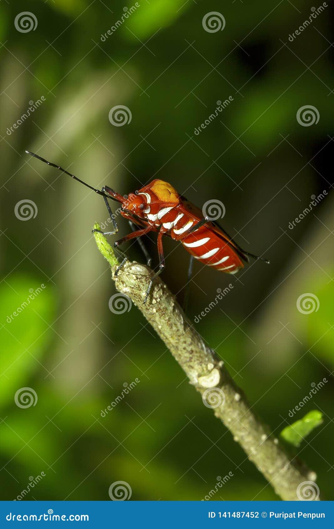 Het katoen stainer op takken wordt beschouwd als een belangrijk insect