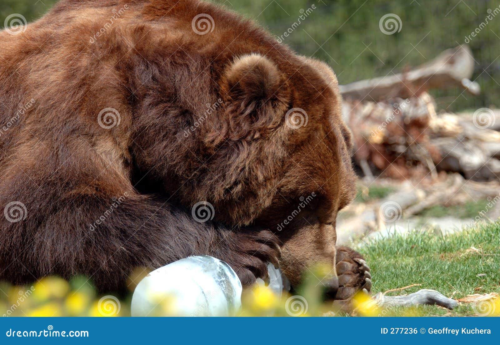 Het Kauwen van de grizzly op Ijs