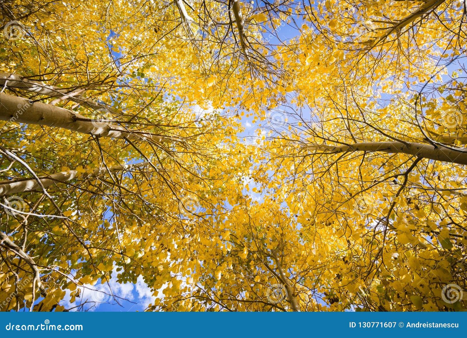 Het kijken omhoog in een bosje van espbomen