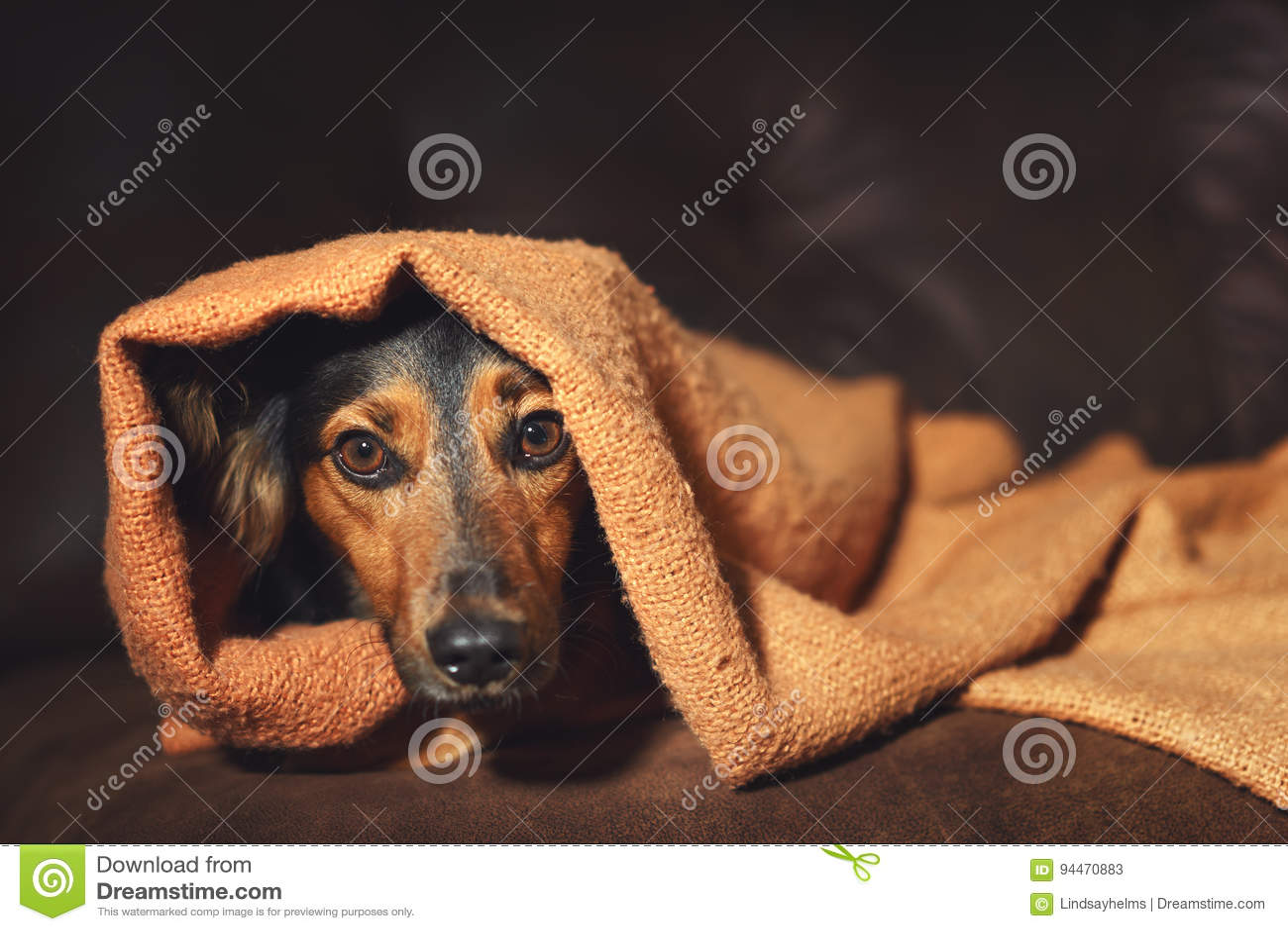 Het kleine hond verbergen onder deken