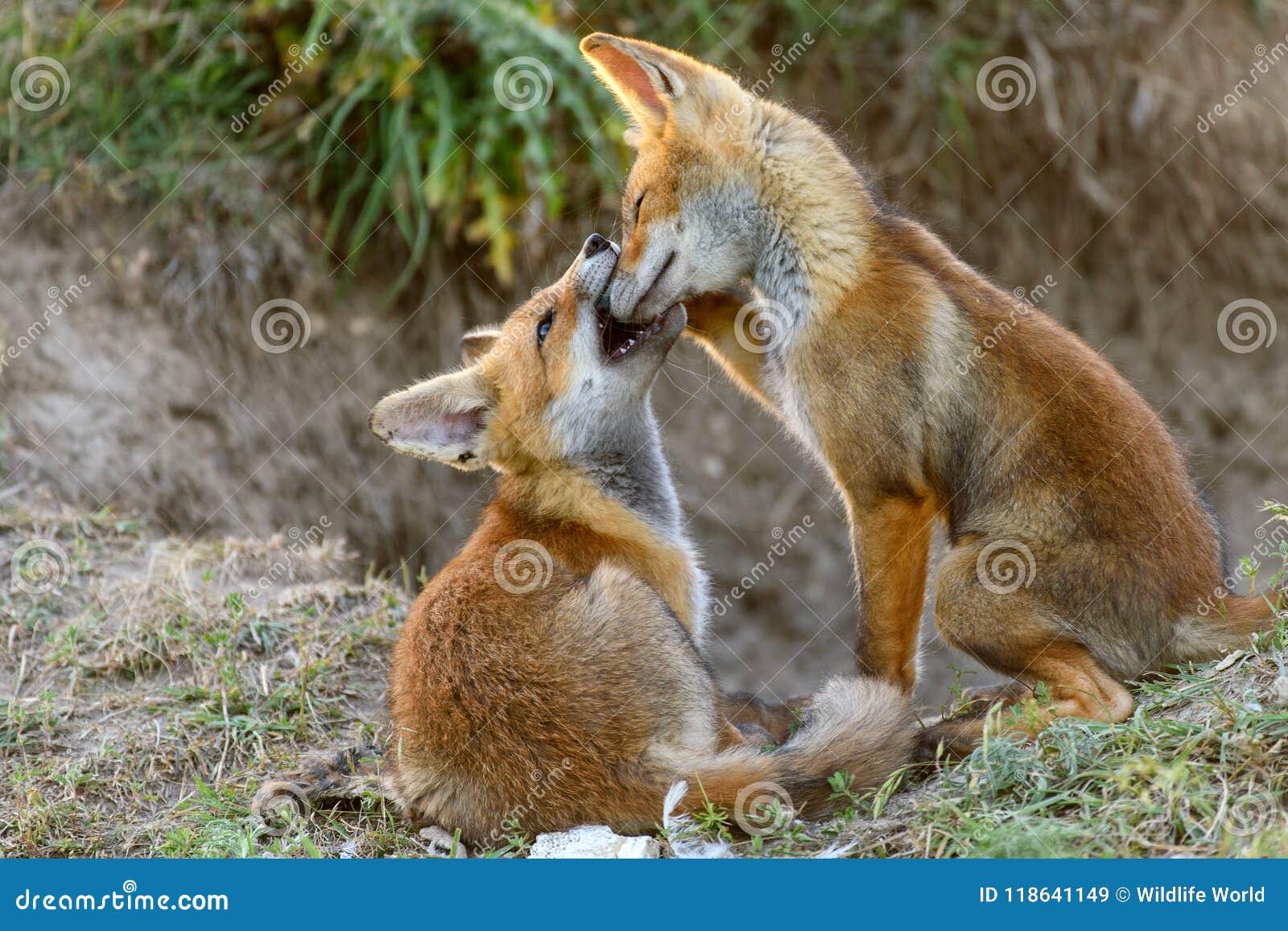 Het Kleine Rode Vos twee spelen dichtbij hun hollen