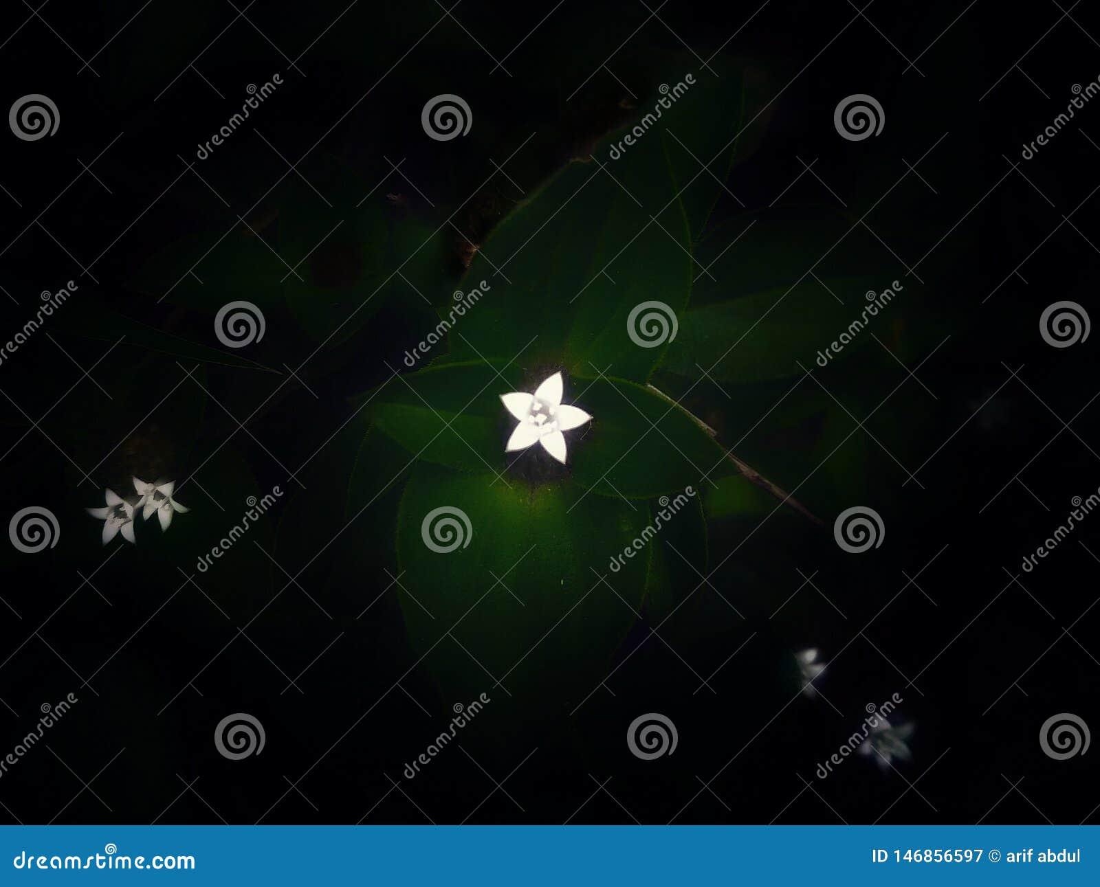 Het kleine star-shaped gras bloeit wit