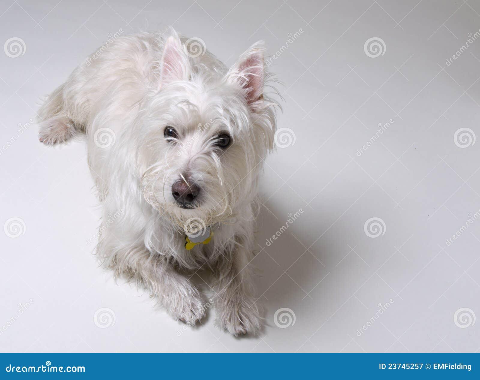 Het Kleine Witte Bepalen Van De Hond Royalty-vrije Stock ...