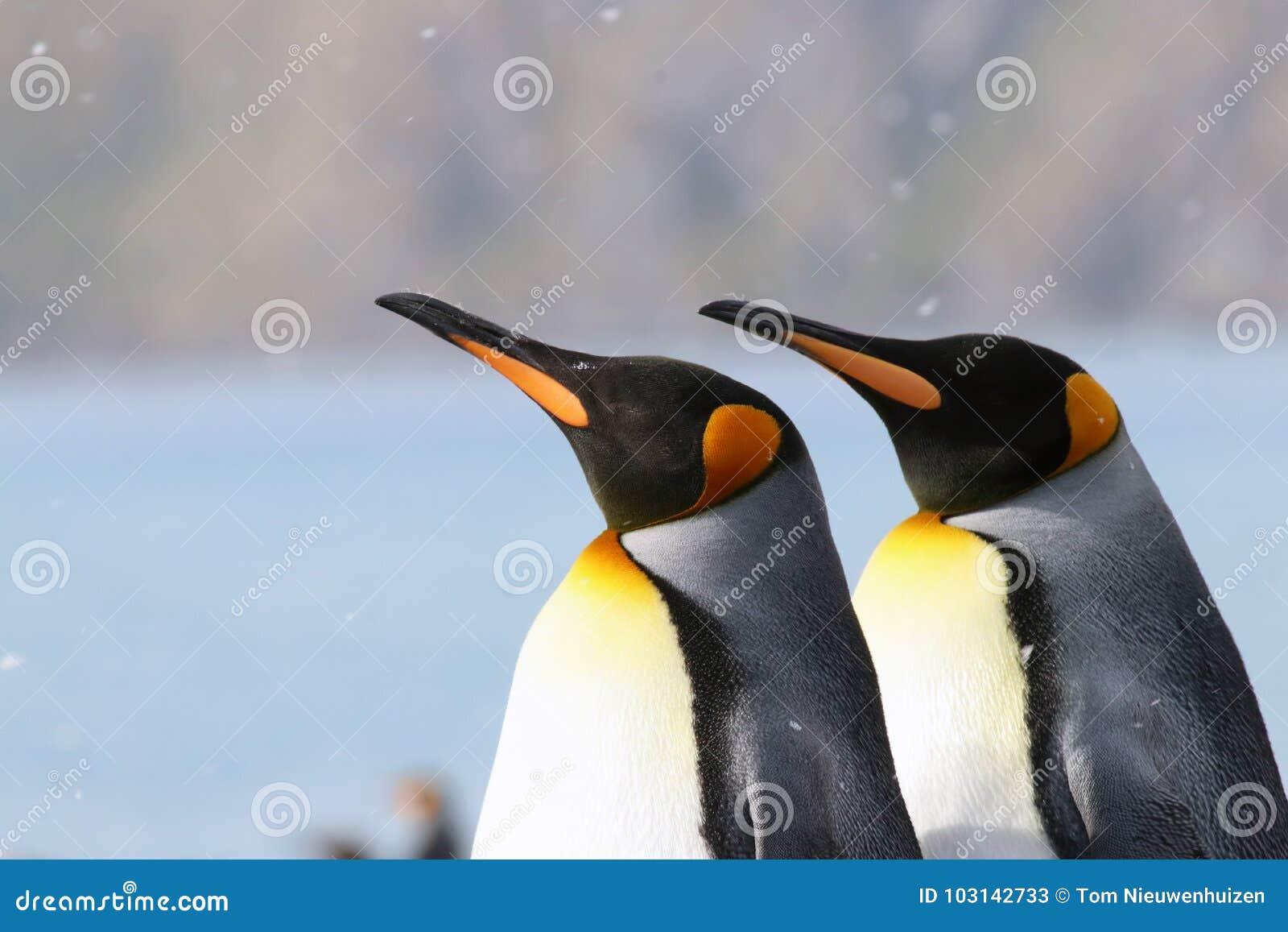 Het kleurrijke duo van KoningsPenguins in de sneeuw