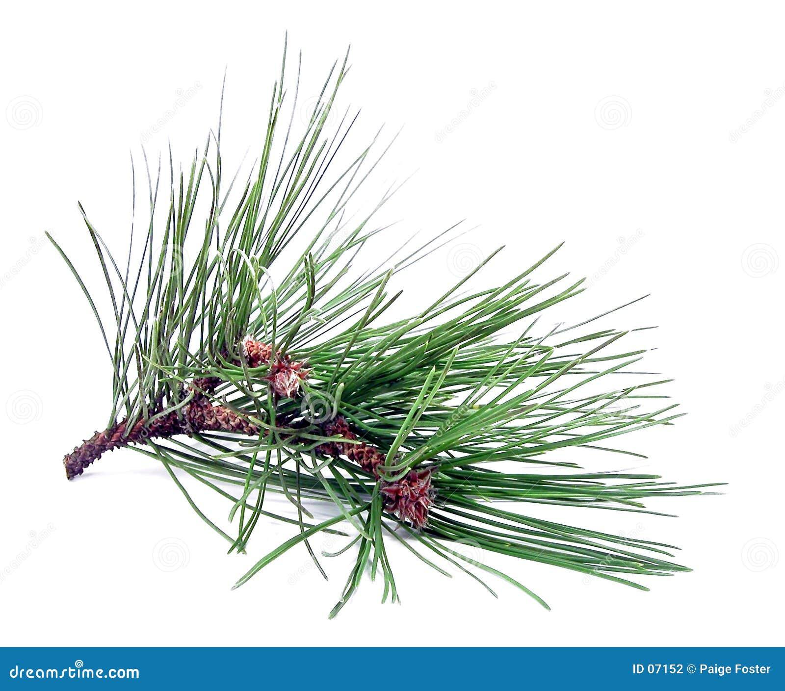 Het Knipsel van de pijnboom
