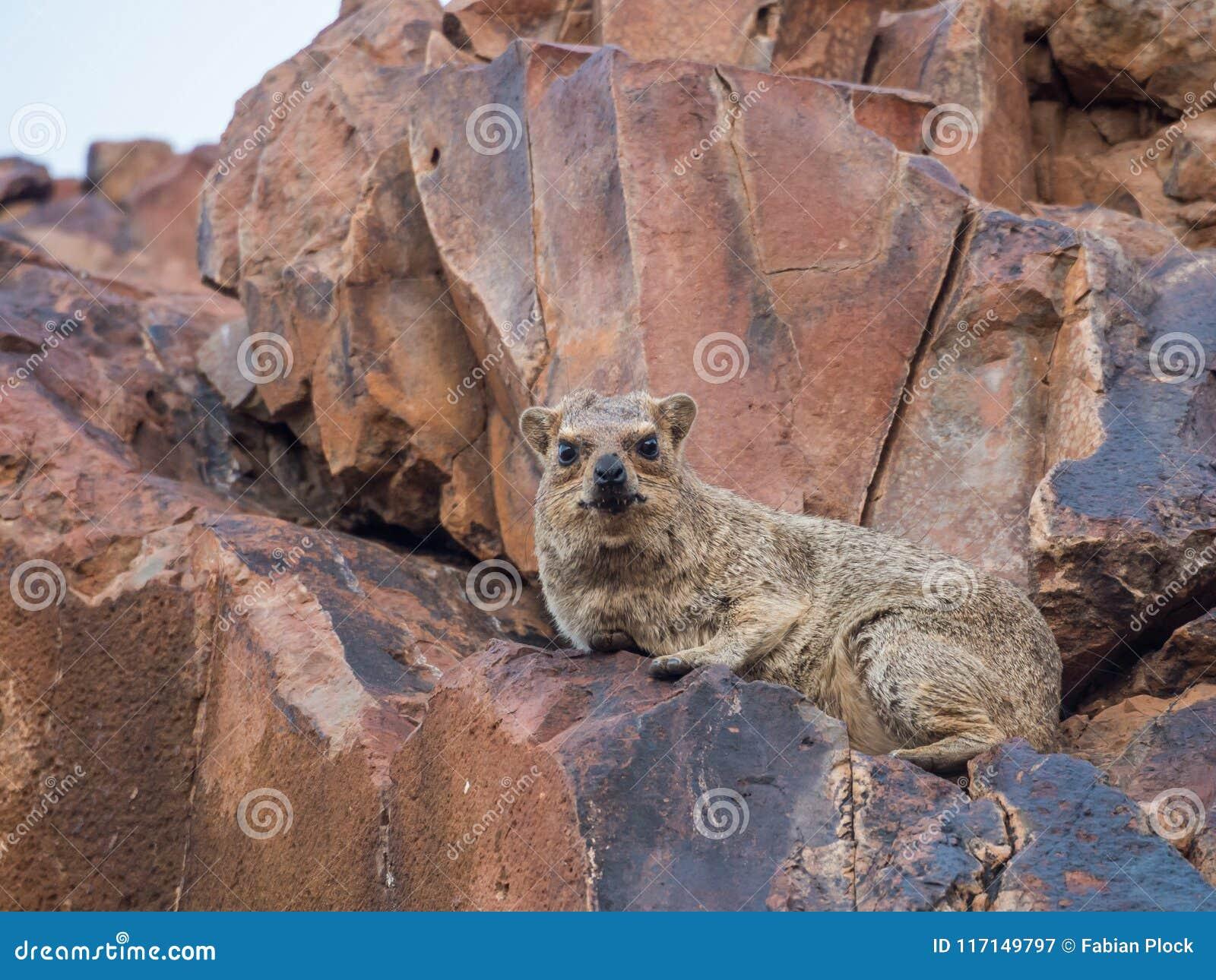 Het knorrige kijken rots die hyrax op rode rots leggen die camera, Palmwag-Concessie, Namibië, Afrika bekijken