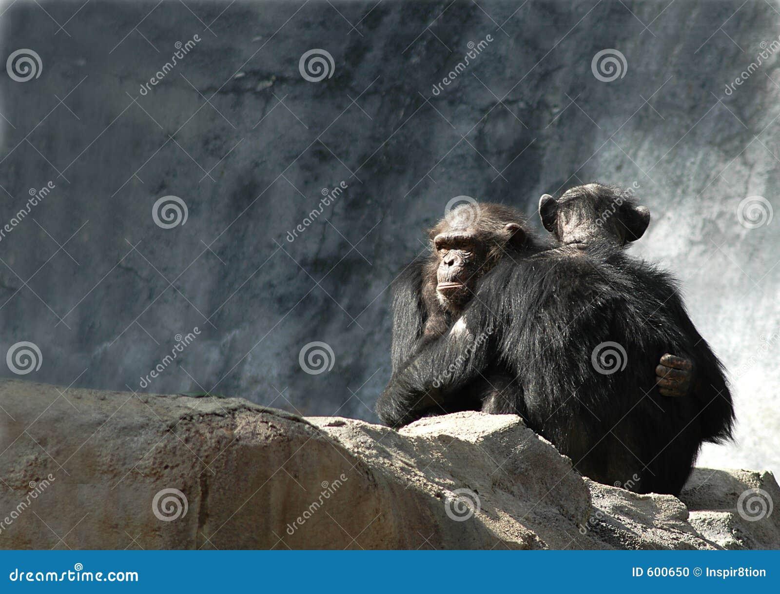 Het koesteren van chimpansees