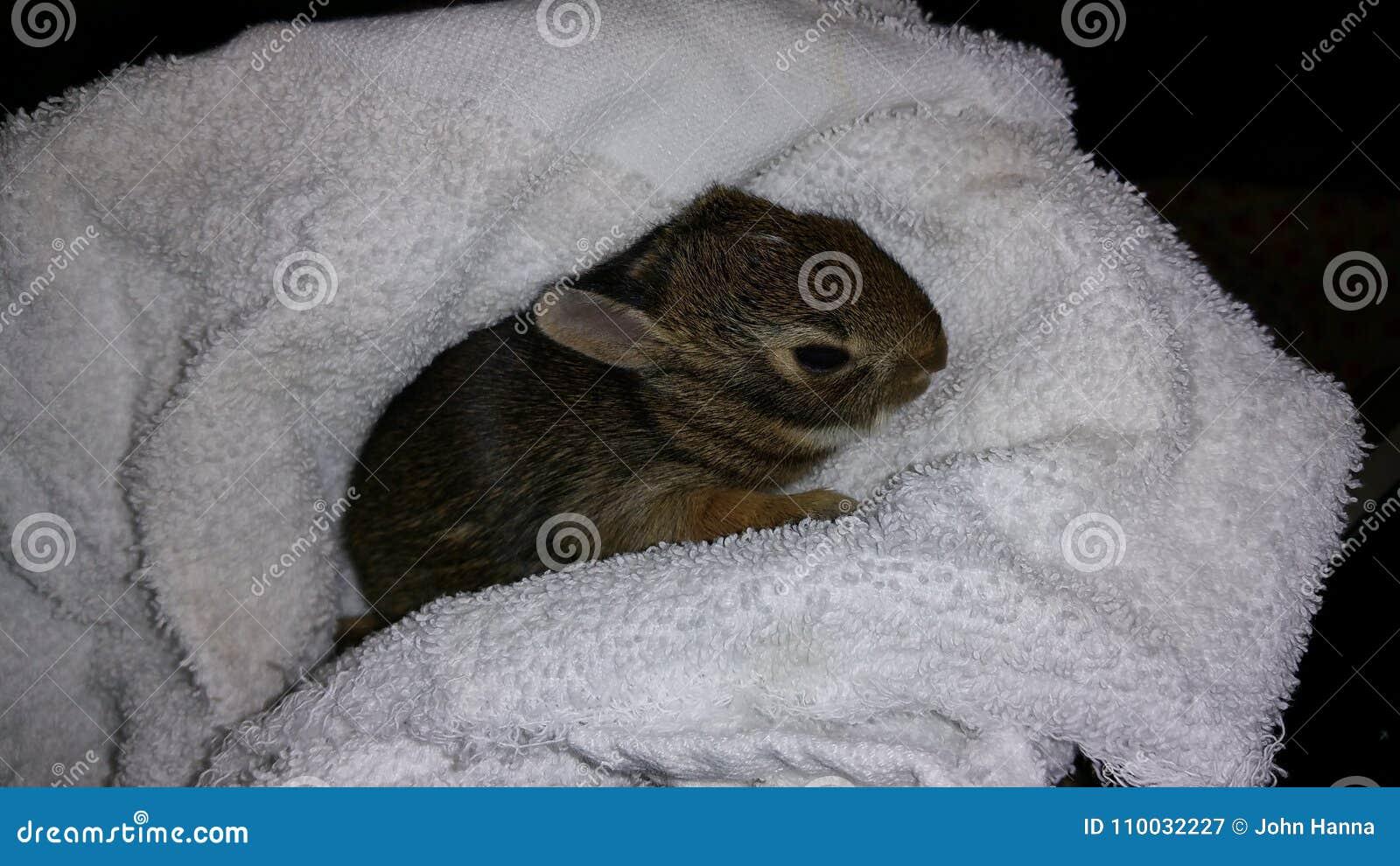 Het Konijn van het babykatoenstaartkonijn in Terry Blanket omhoog wordt verpakt dat
