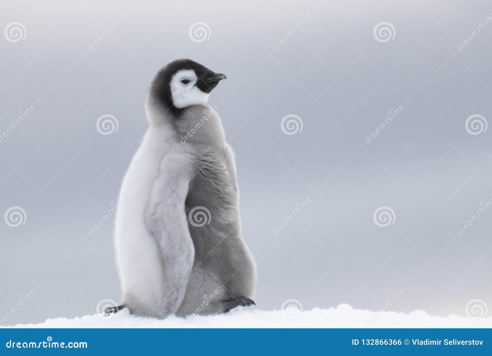 Het kuiken van de keizerpinguïn op ijs