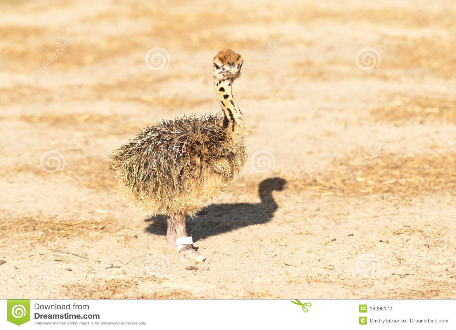 Het kuiken van de struisvogel