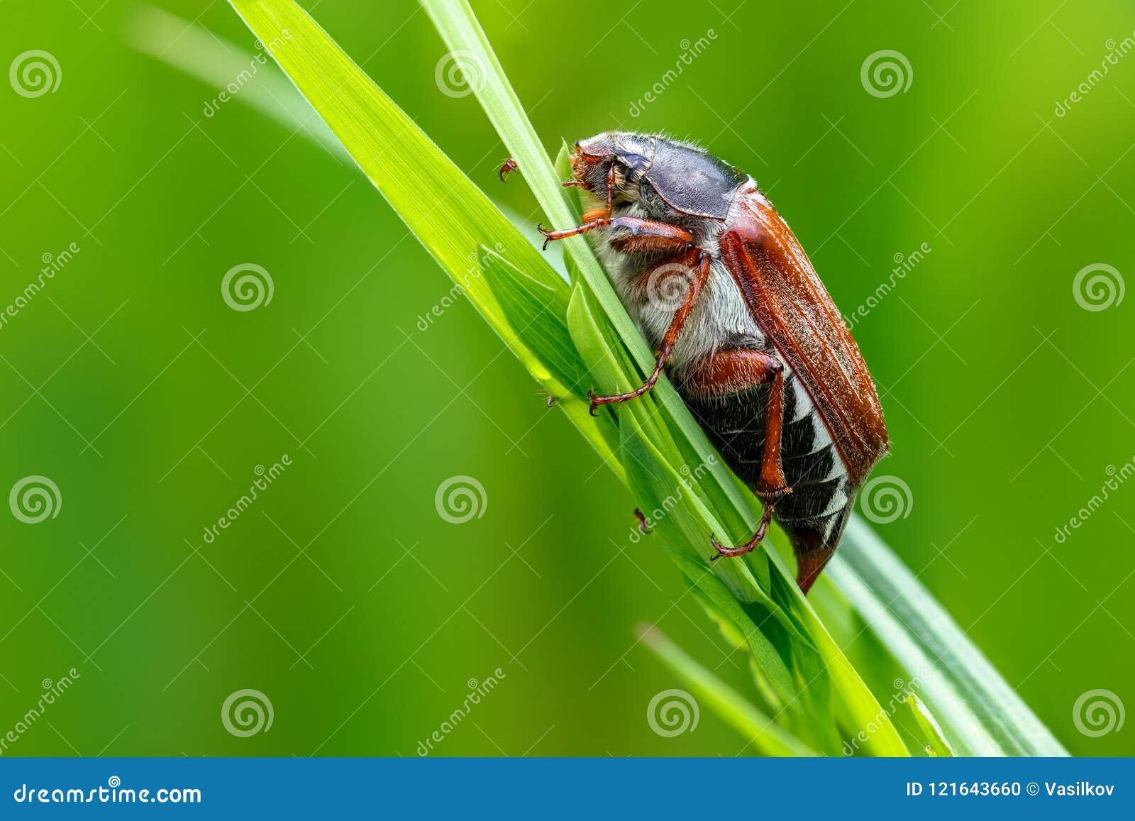 Het kunnen-insect het macroportret