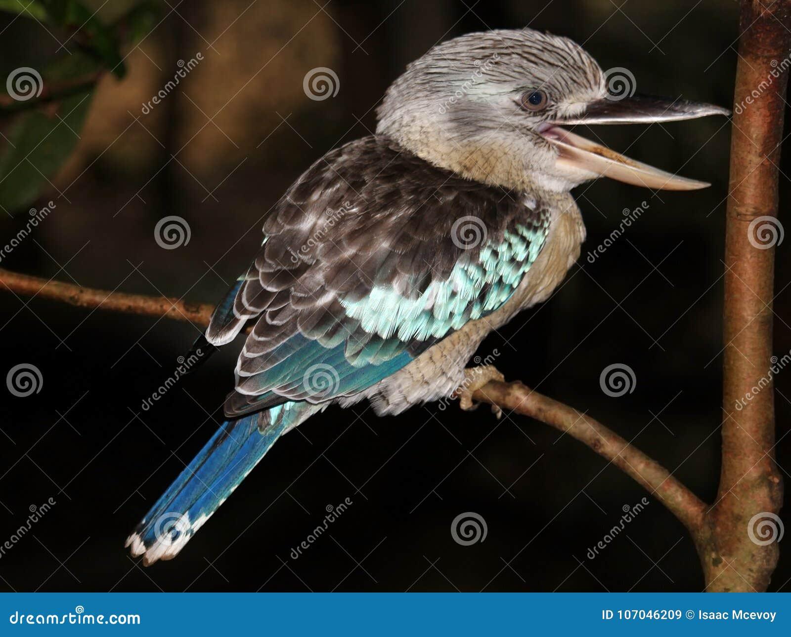 Het lachen kookaburra op tak