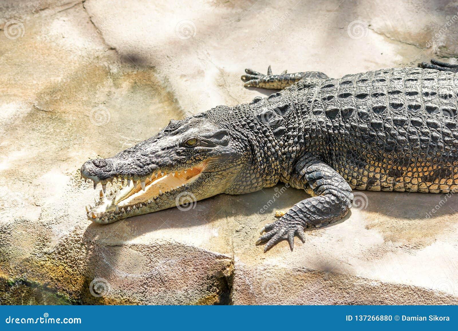 Het lachen Krokodil tanden en krokodilhoofd