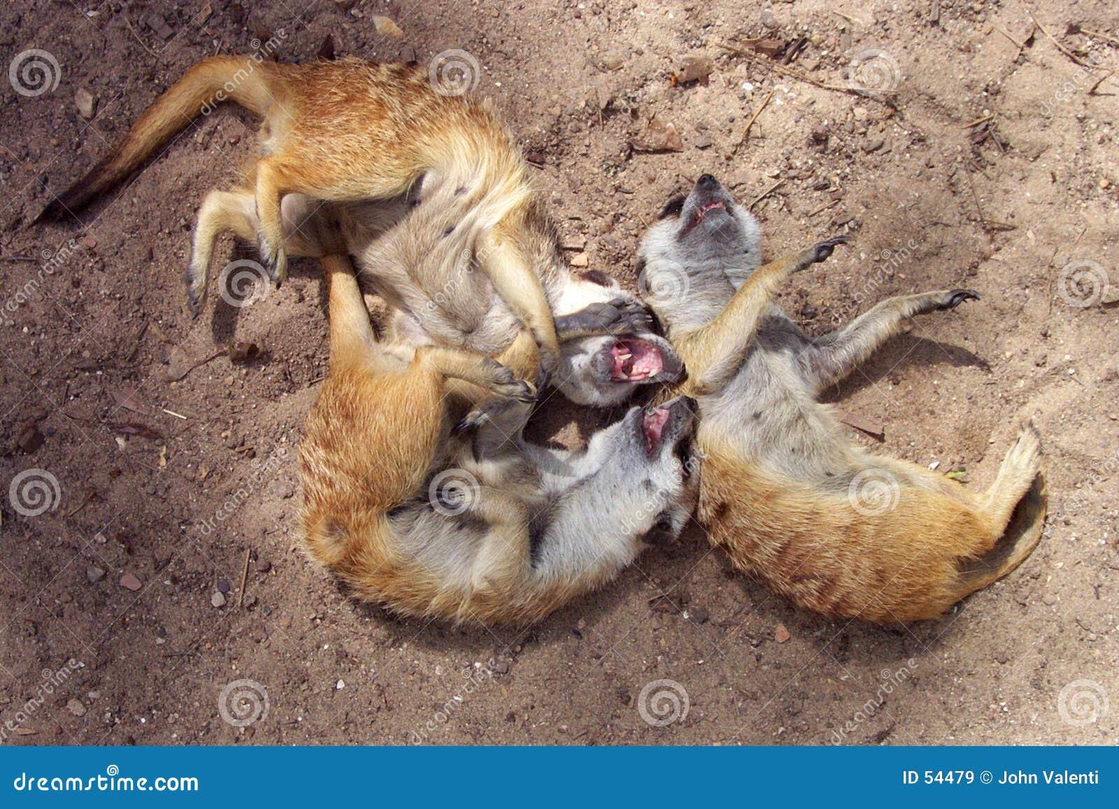 Het lachen Meerkats