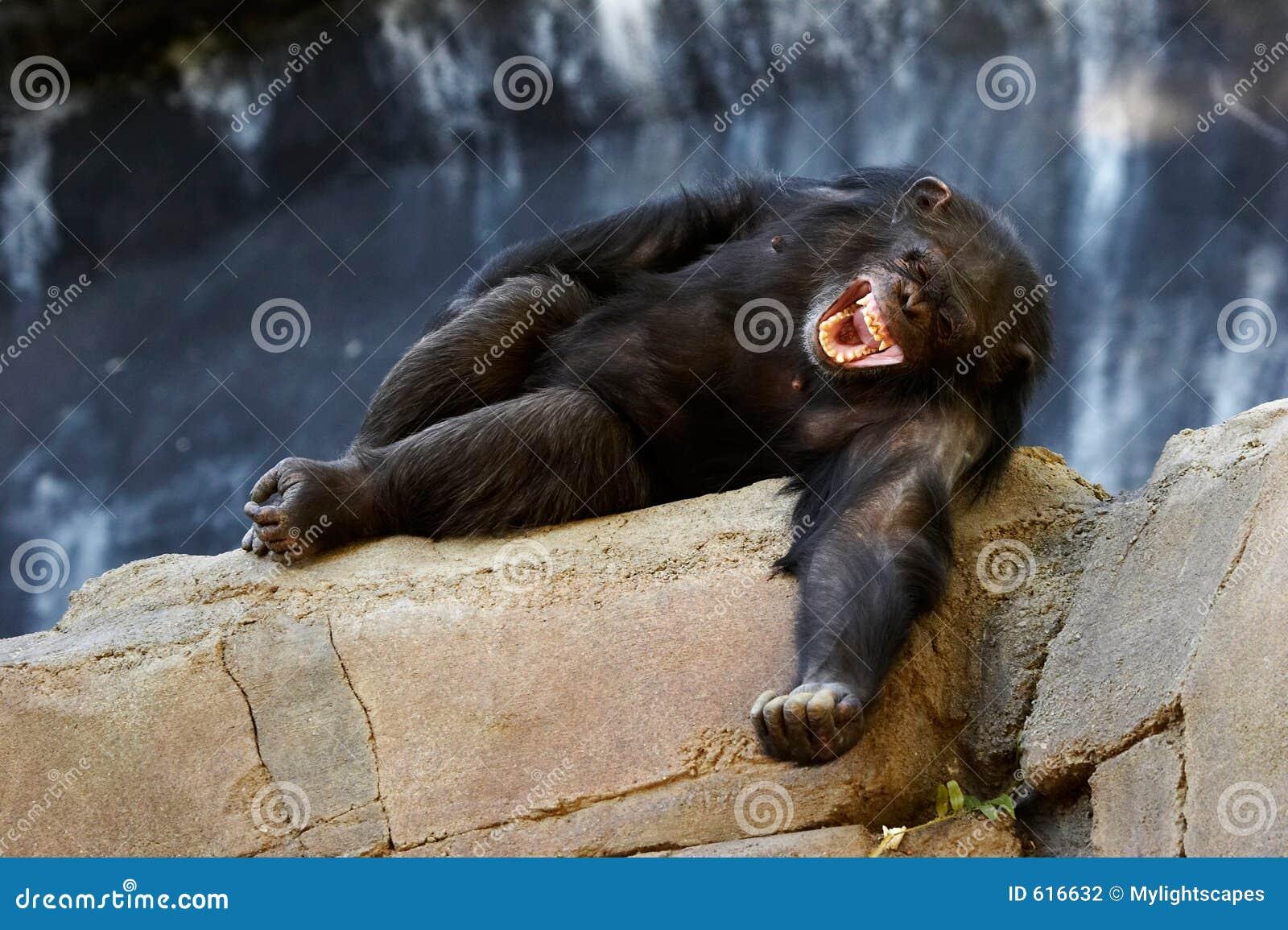 Het lachen van de chimpansee