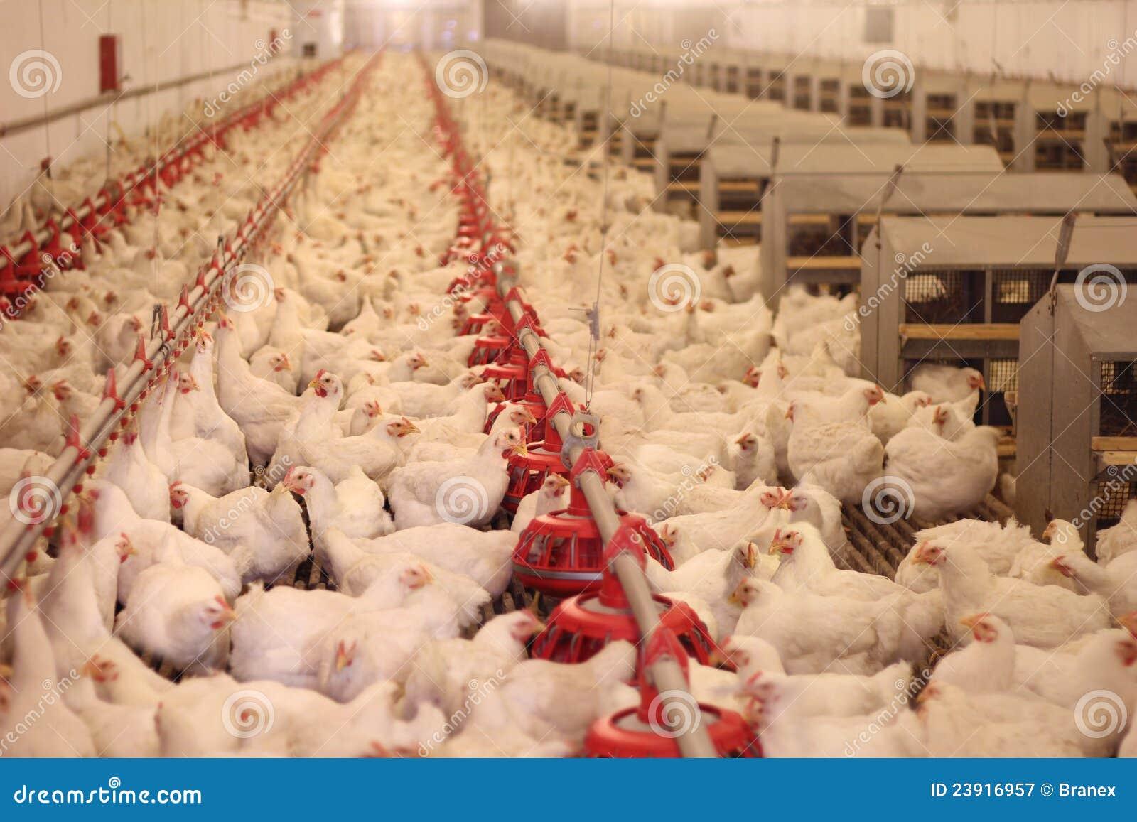Het Landbouwbedrijf van de kip