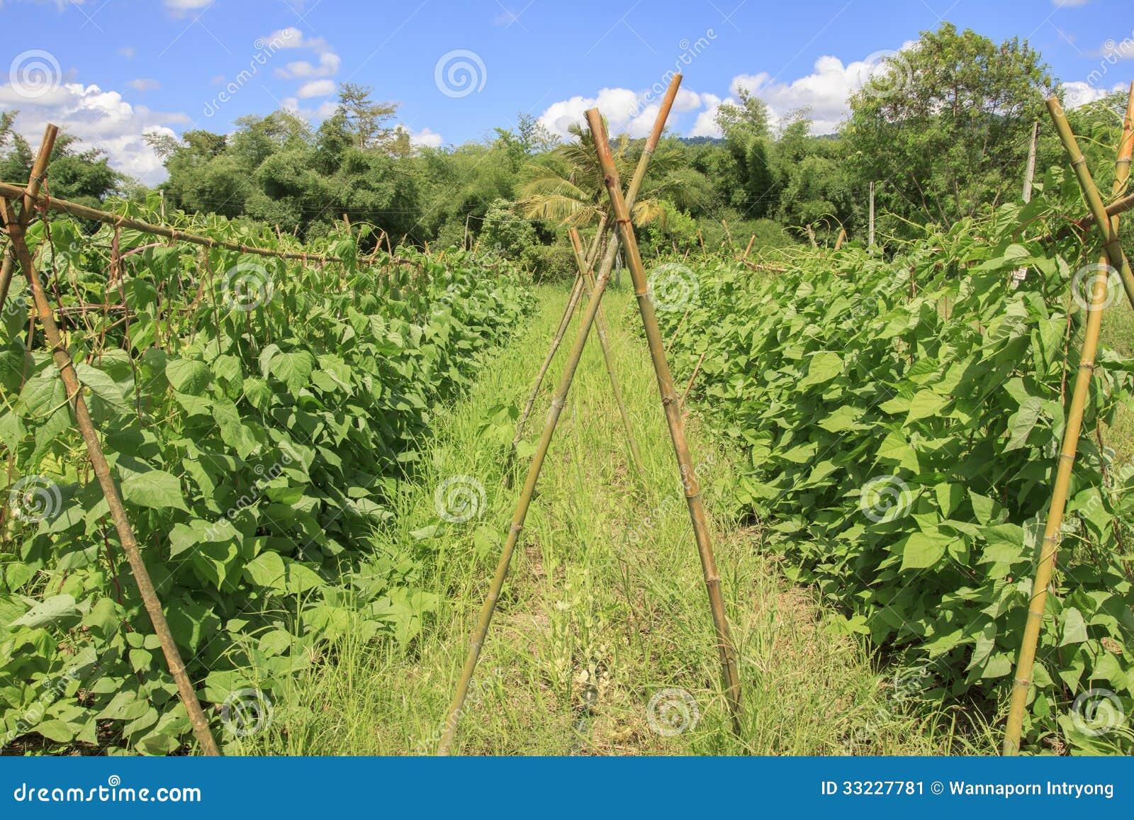 Het landbouwbedrijf van de Yardlongboon