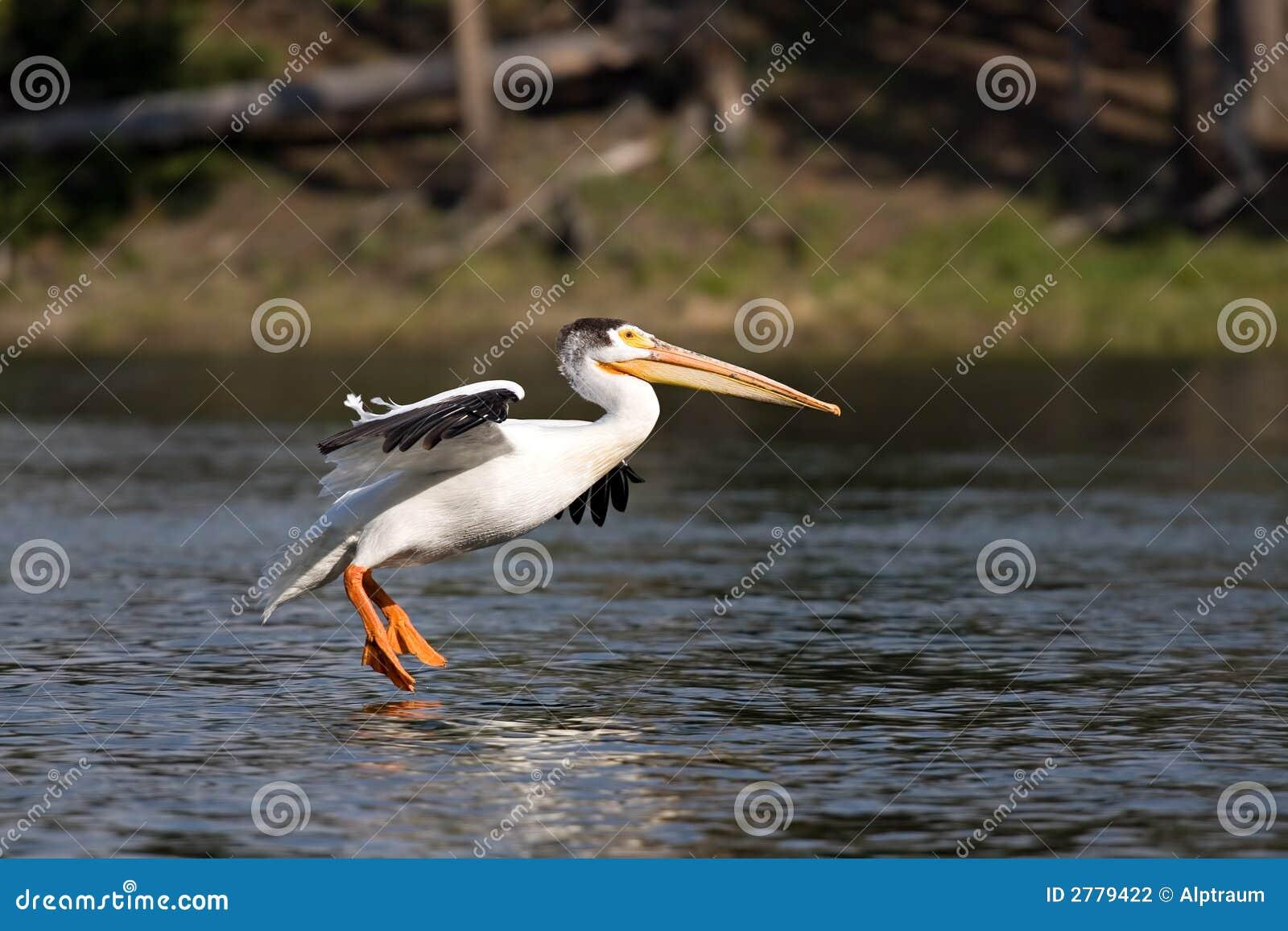Het landen van de pelikaan