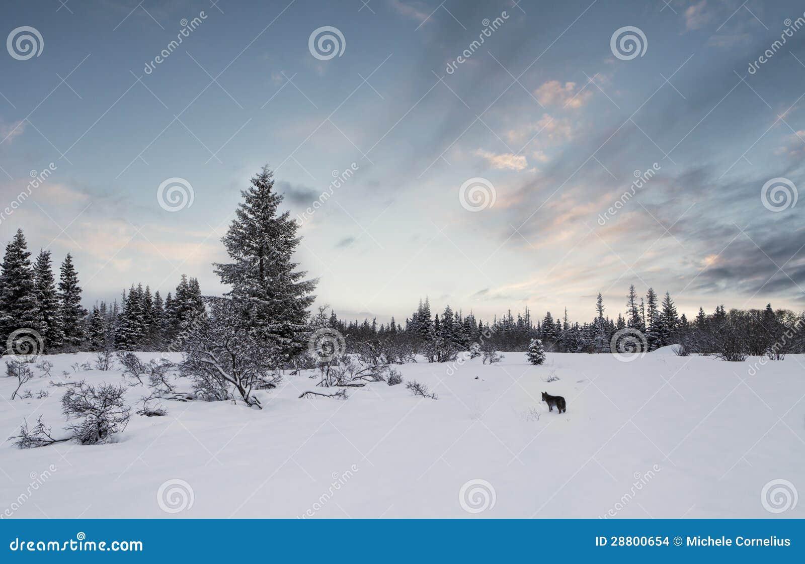 Het Landschap van de winter met Coyote