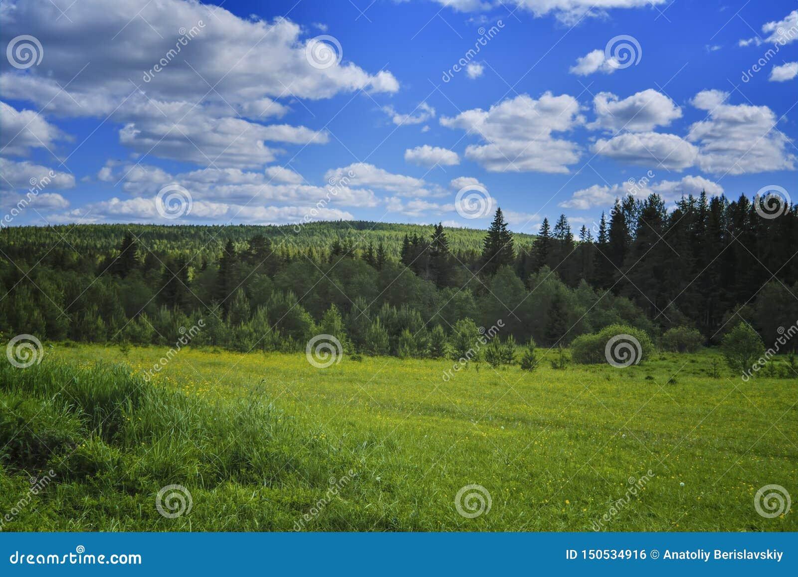 Het landschap van de de zomerweide met groen gras en wilde bloemen op de achtergrond van een naald bos en blauwe hemel
