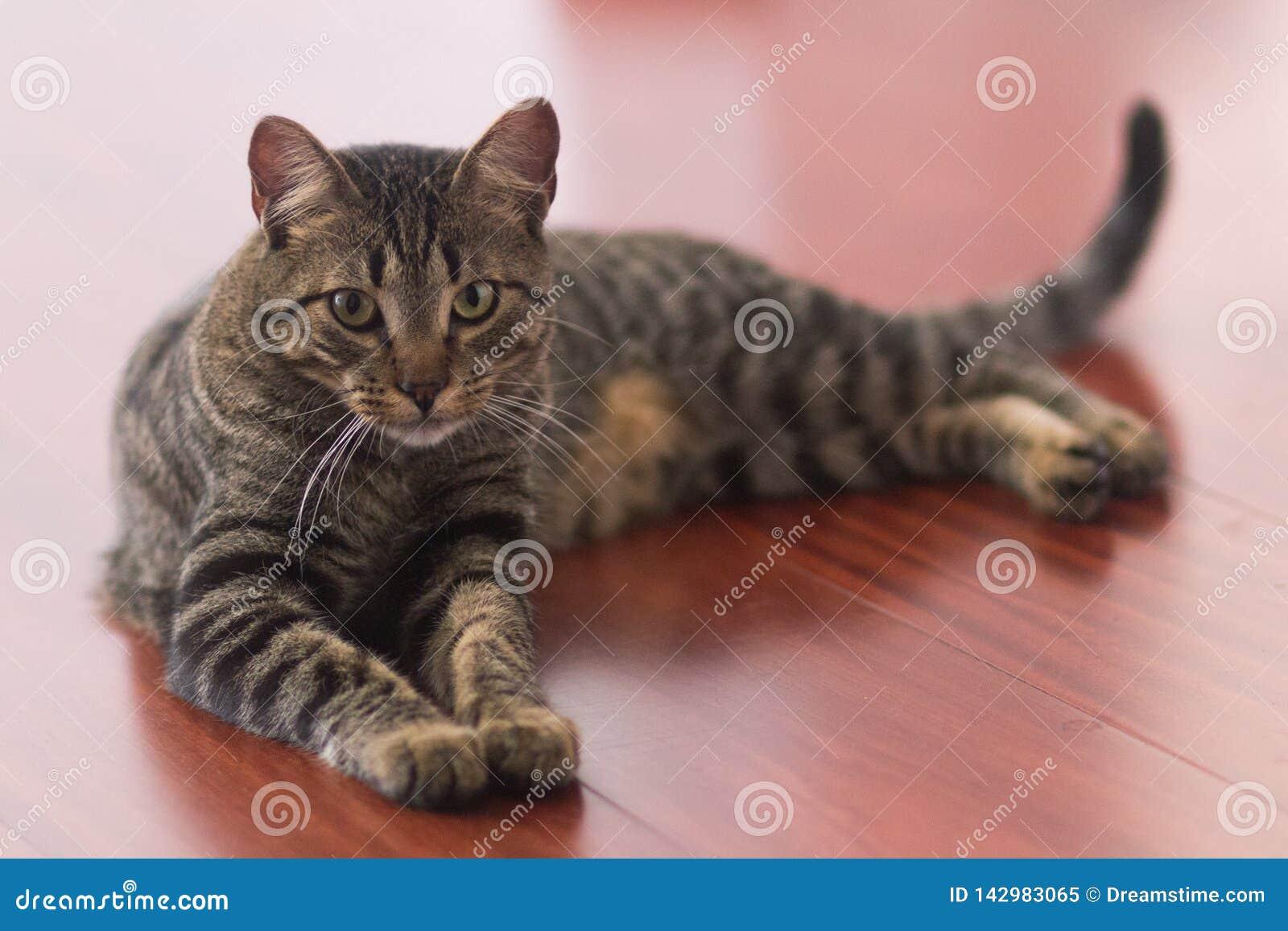 Het leggen van siamese kat