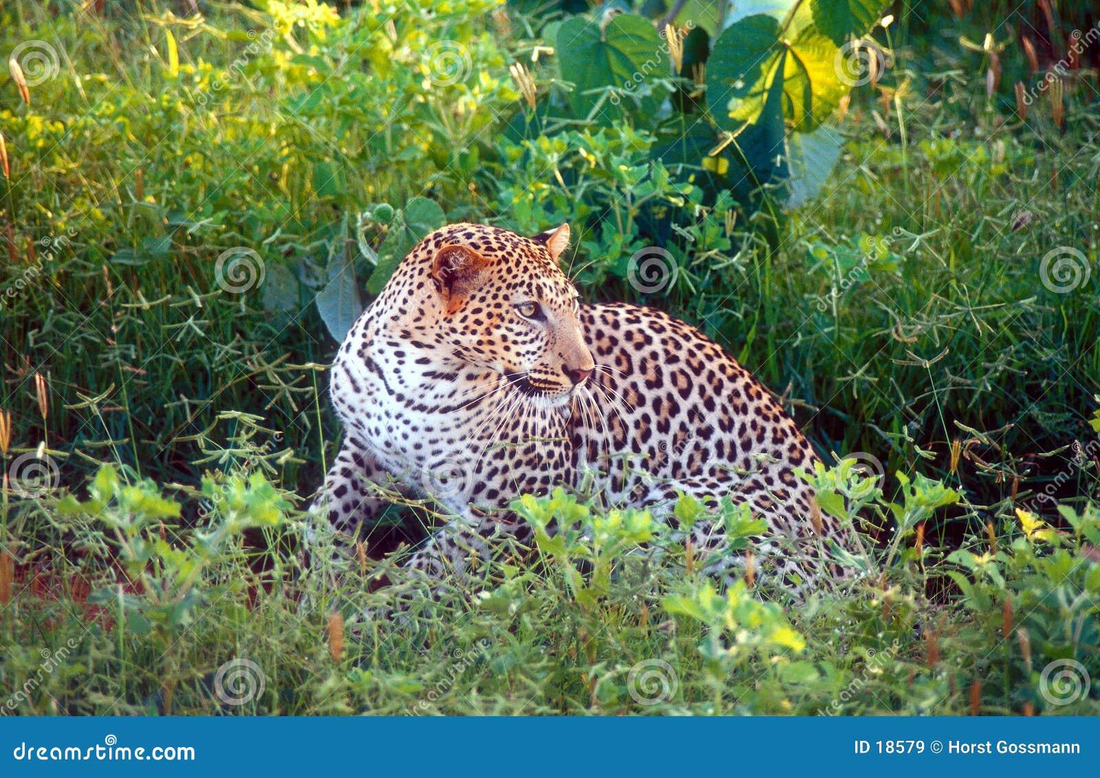 Het letten op van de luipaard