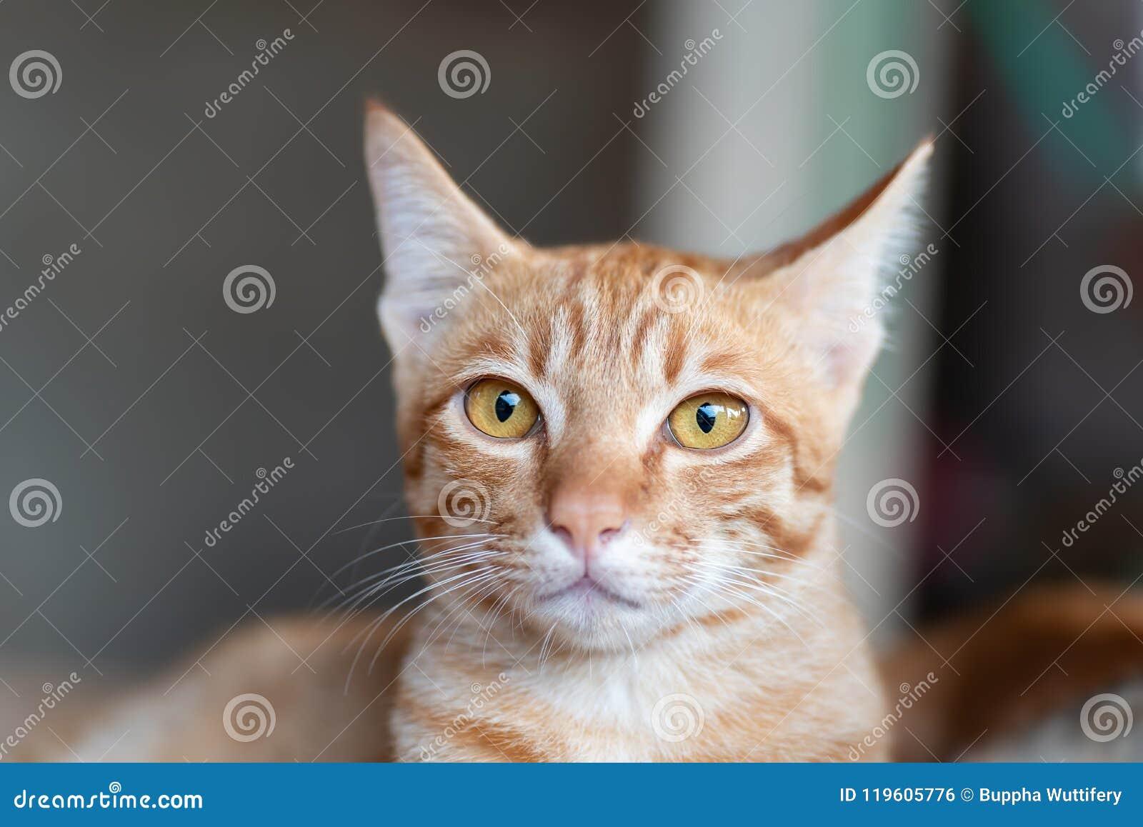 Het leuke gezicht van de gemberkat, leuk huisdier