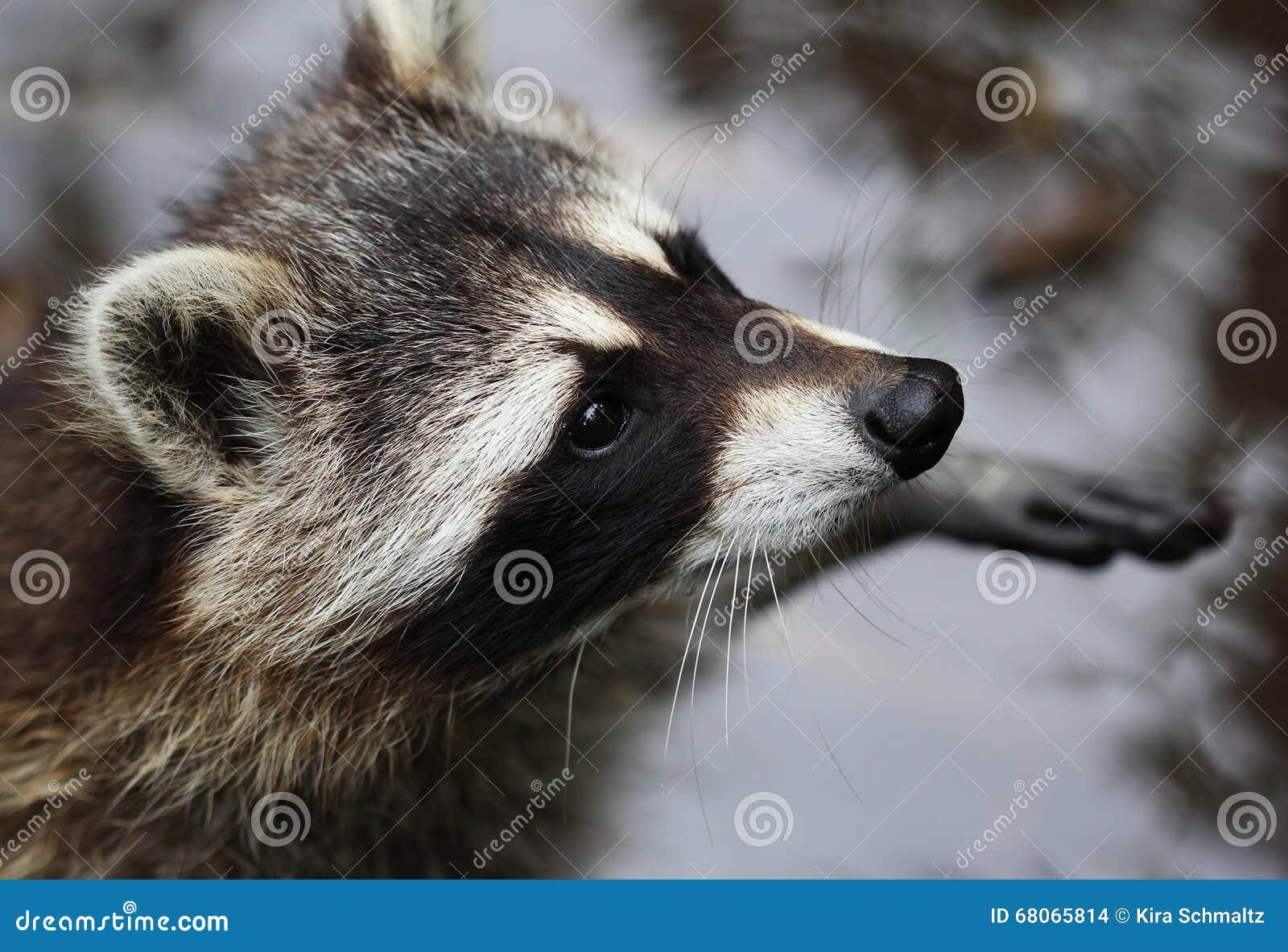 Het leuke pluizige wasbeer dichte omhooggaande portret